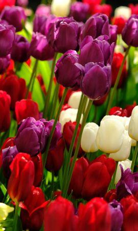 83949 скачать обои Цветы, Растения, Разноцветный, Тюльпаны - заставки и картинки бесплатно