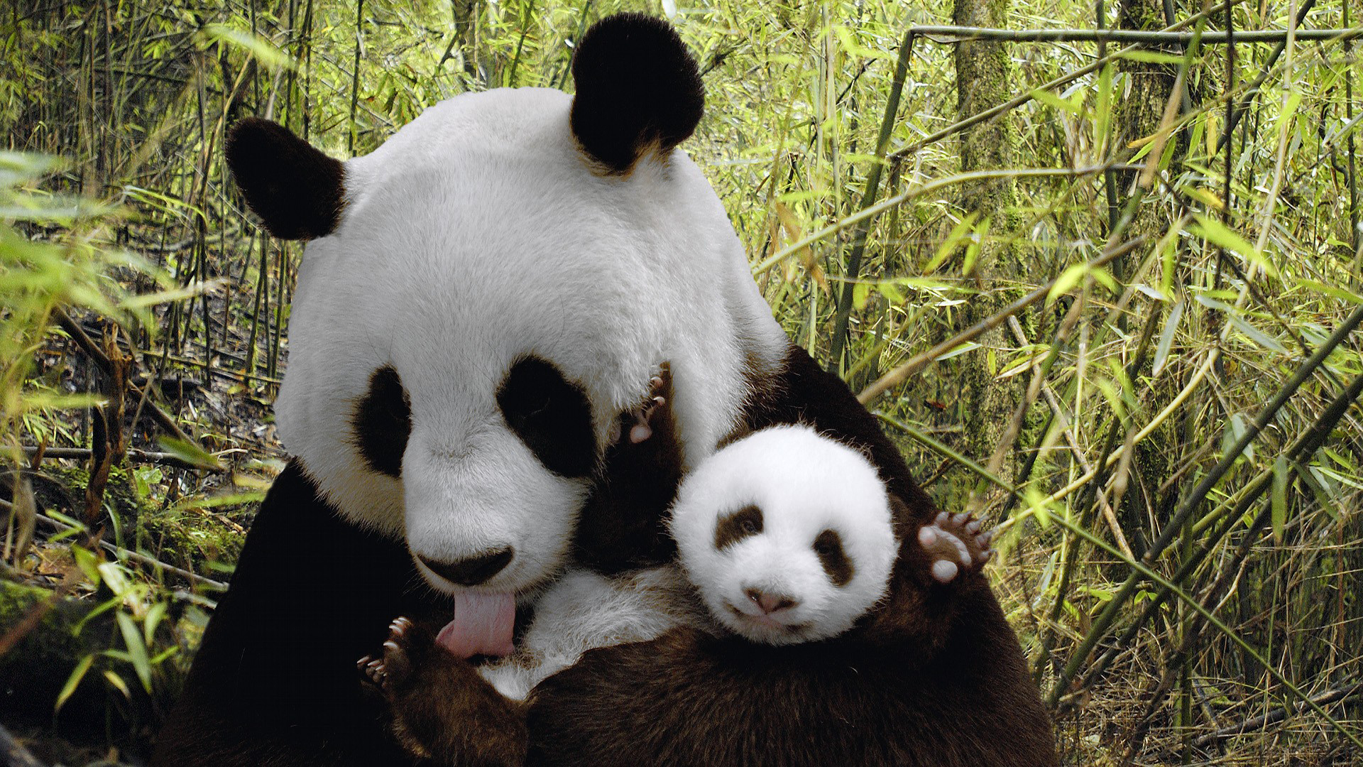 48292 download wallpaper Animals, Pandas screensavers and pictures for free