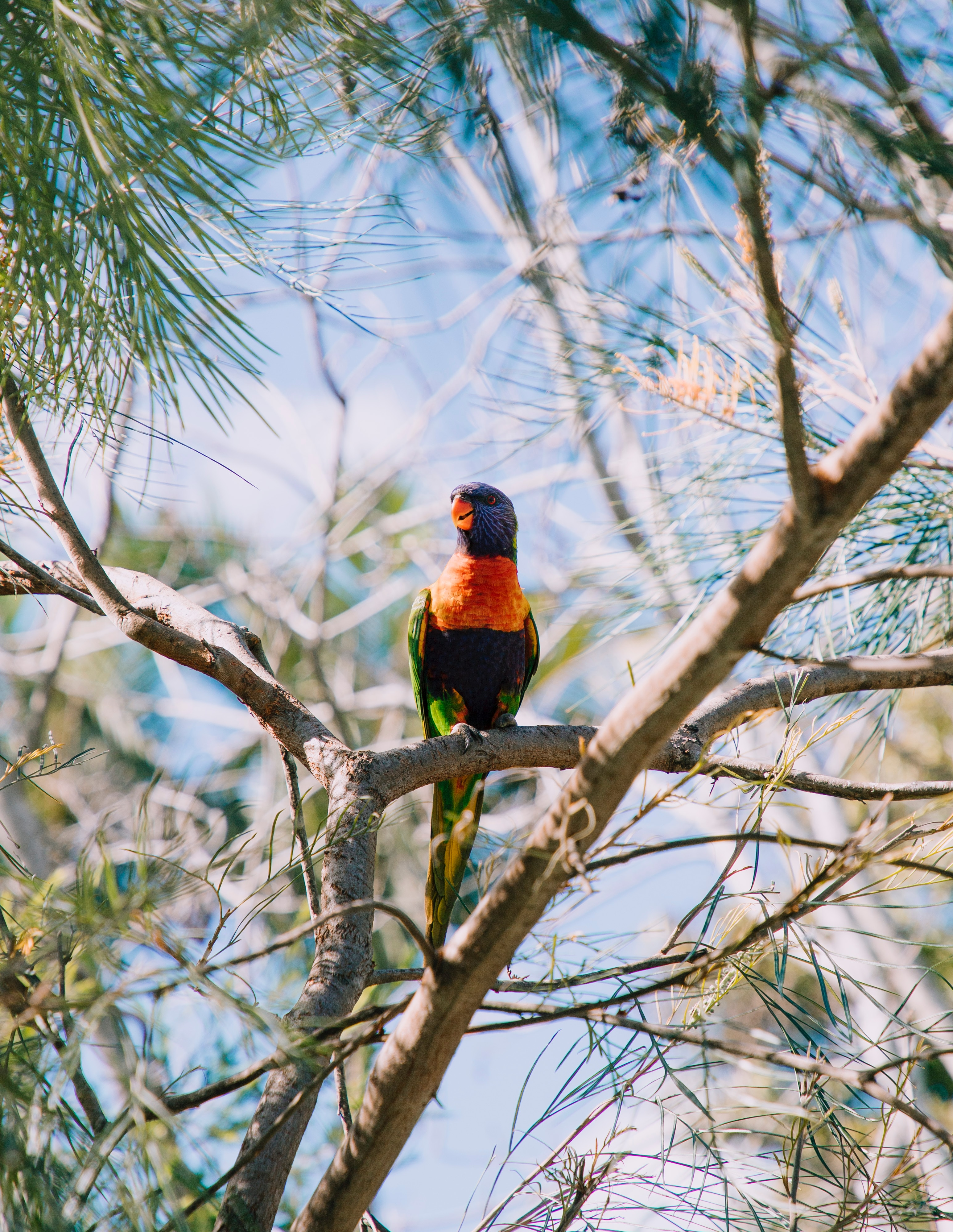 103601 download wallpaper Animals, Multicolor Lorikeet, Multi-Colored Loriket, Parrots, Bird, Multicolored, Motley, Wildlife screensavers and pictures for free