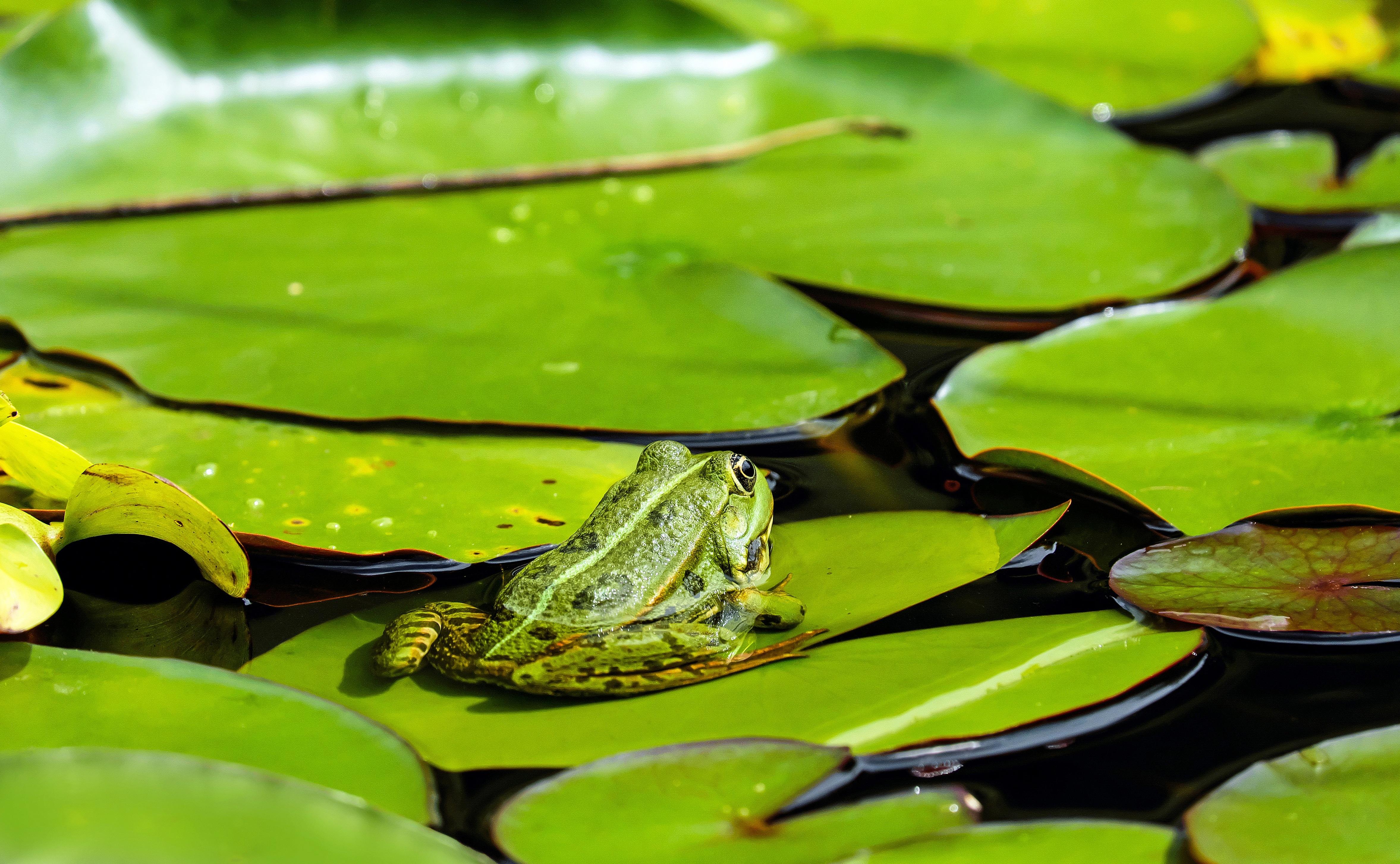 102452 Hintergrundbild 240x400 kostenlos auf deinem Handy, lade Bilder Tiere, Blätter, Frosch, Eikapsel, Kubshka 240x400 auf dein Handy herunter