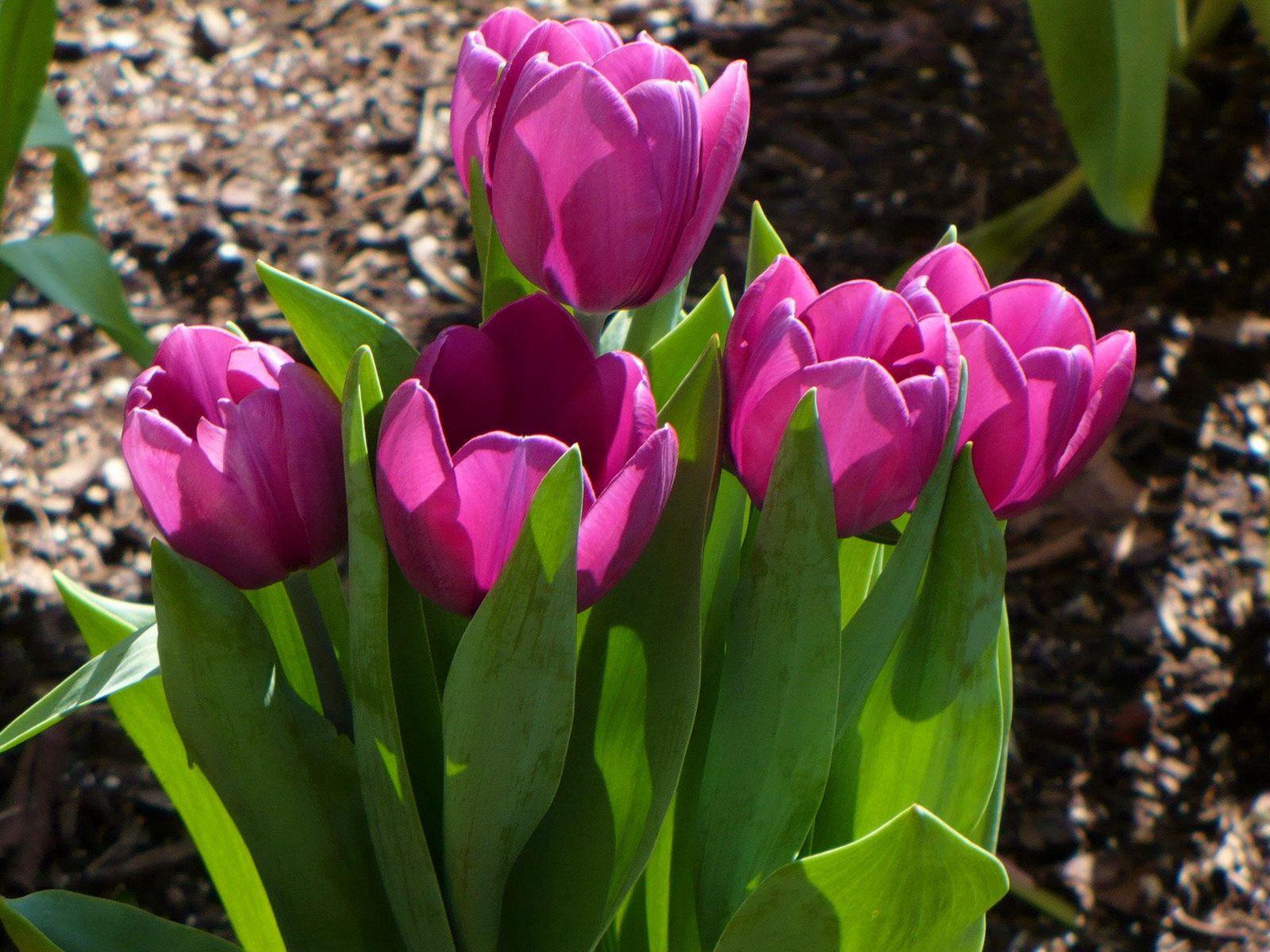 100267 скачать обои Тюльпаны, Цветы, Распущенные, Весна, Солнечно - заставки и картинки бесплатно