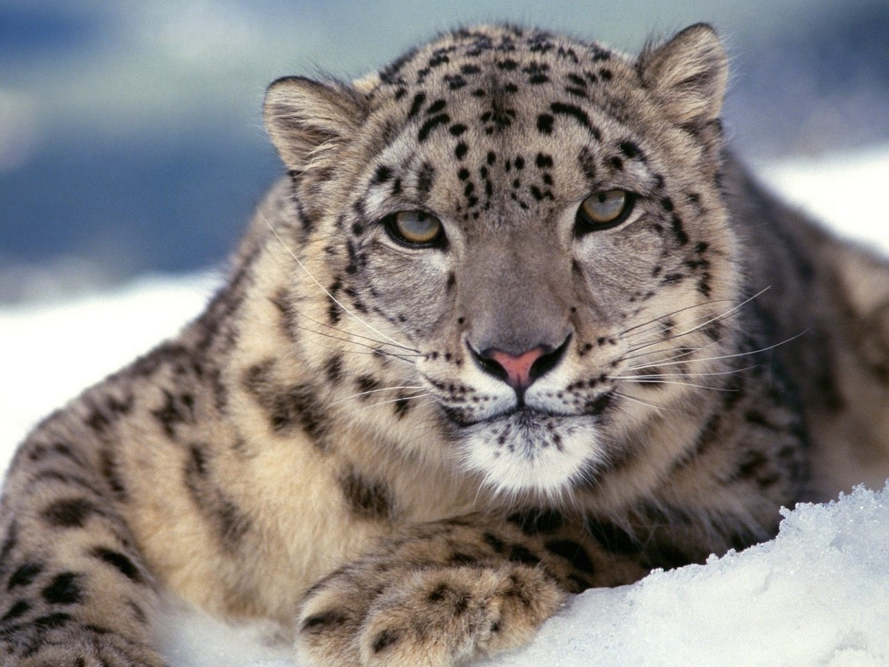 23494 download wallpaper Animals, Snow Leopard, Snow screensavers and pictures for free