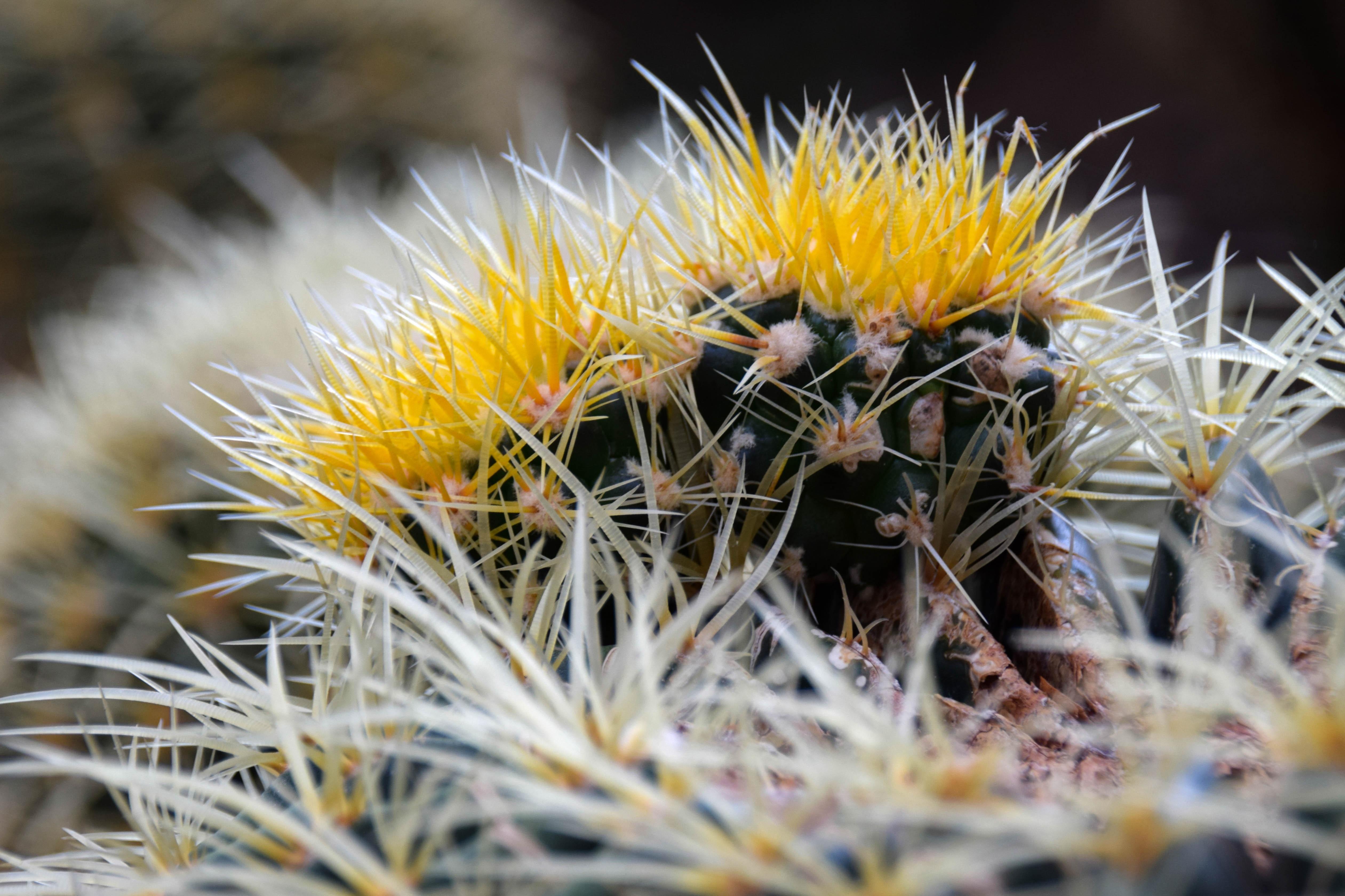 87008 descargar fondo de pantalla Macro, Cactus, Cacto, Espinas, De Cerca, Primer Plano, Flores: protectores de pantalla e imágenes gratis