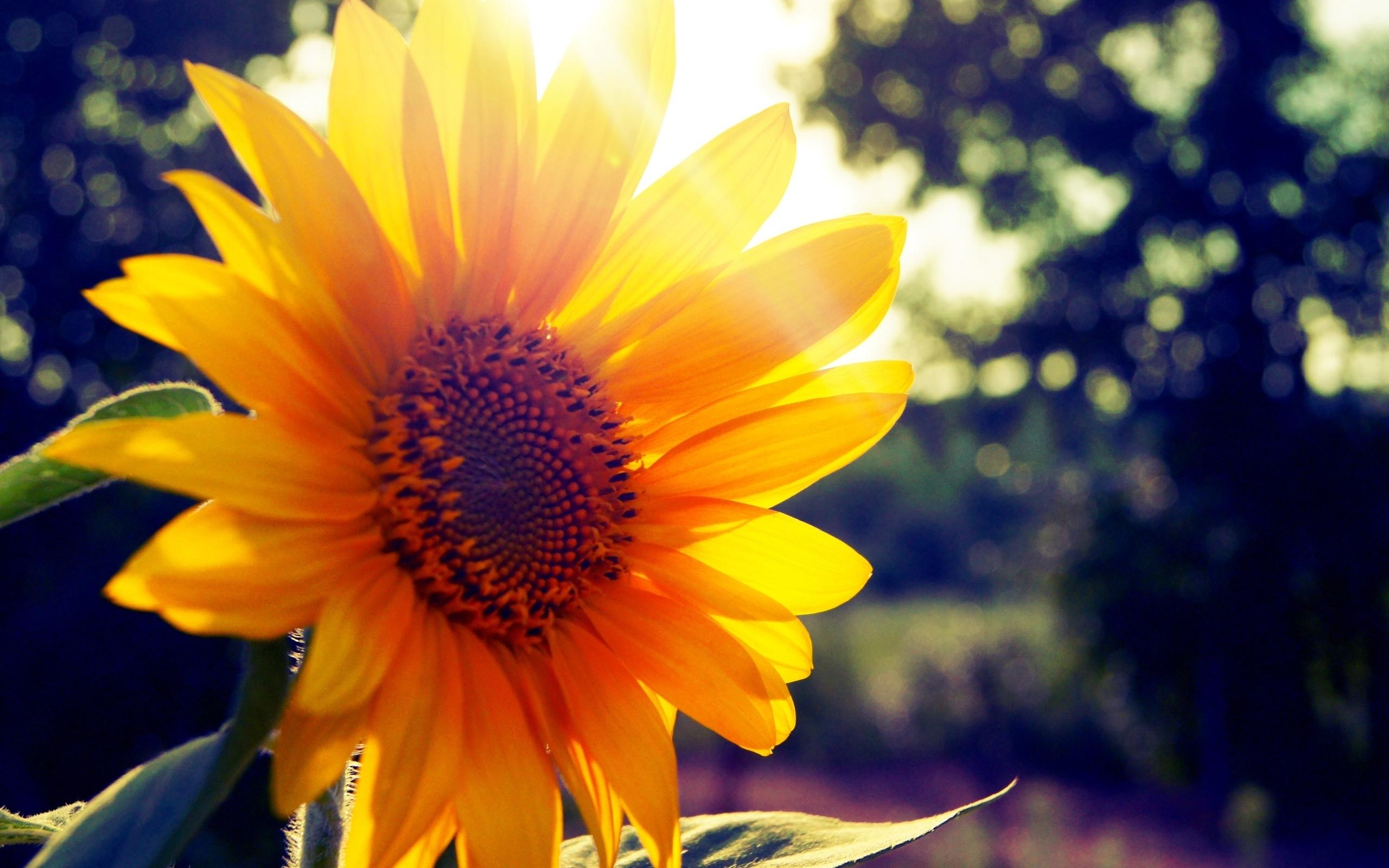 23125 免費下載壁紙 植物, 花卉, 向日葵 屏保和圖片