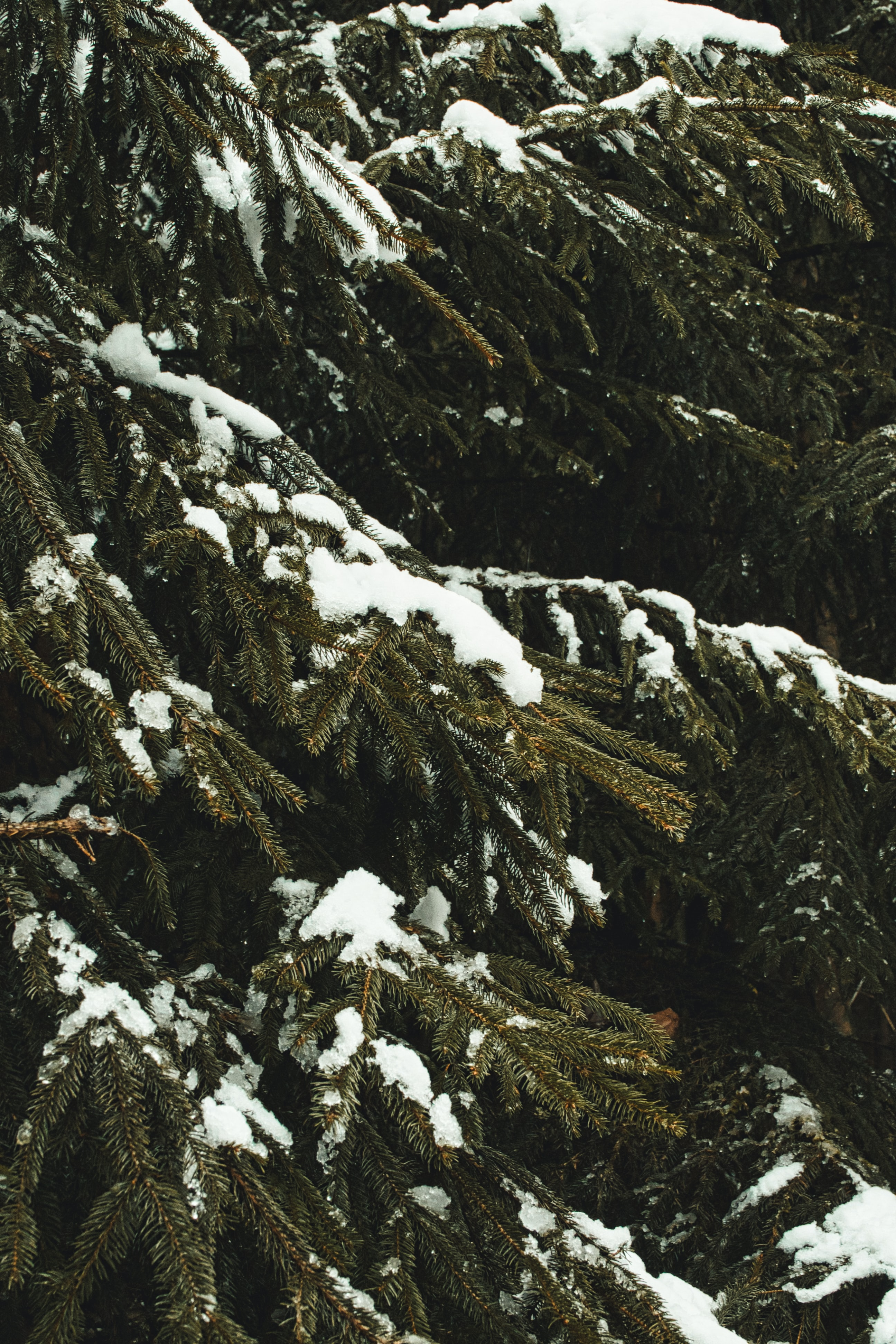 149422 download wallpaper Nature, Spruce, Fir, Branches, Snow, Trees, Winter screensavers and pictures for free
