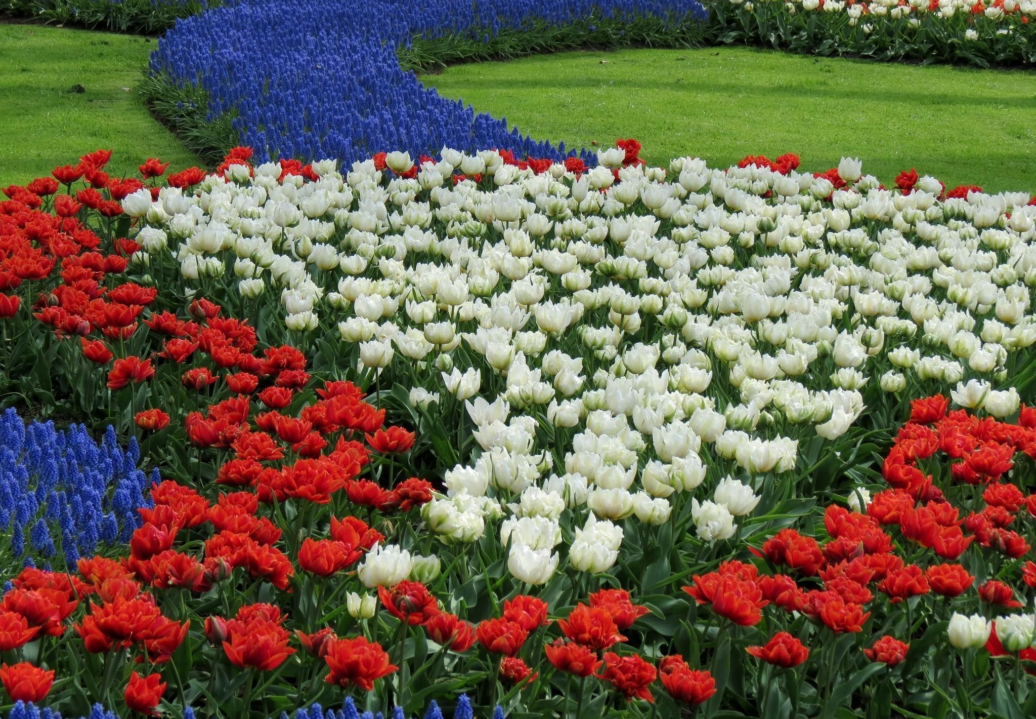153159 descargar fondo de pantalla Flores, Muscari, Muskari, Cama De Flores, Parterre, Patrón, Tulipanes: protectores de pantalla e imágenes gratis