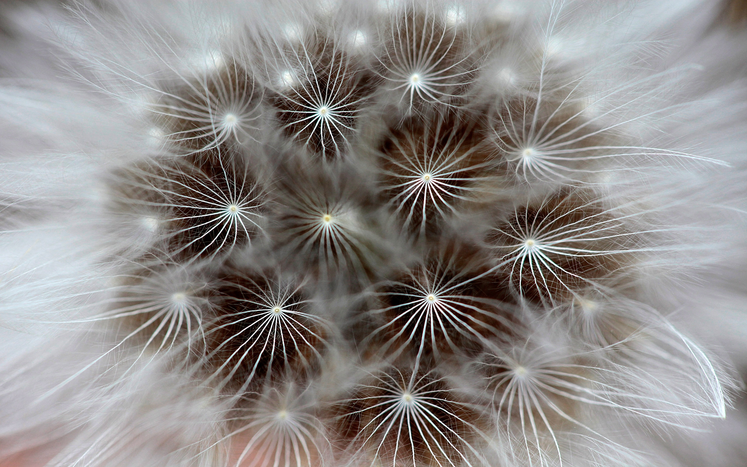 1573 download wallpaper Plants, Dandelions screensavers and pictures for free
