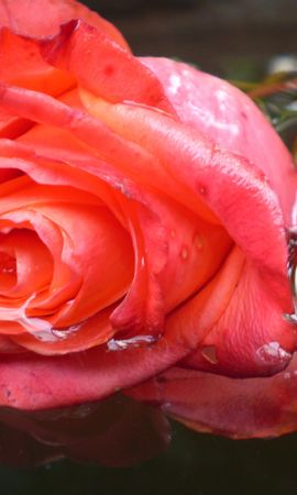 4308 скачать обои Растения, Цветы, Розы - заставки и картинки бесплатно