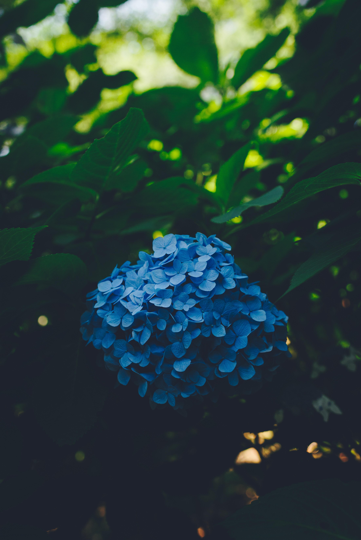 71217 télécharger le fond d'écran Fleurs, Hortensia, Inflorescences, Inflorescence, Feuilles, Buisson, Flou, Lisse - économiseurs d'écran et images gratuitement