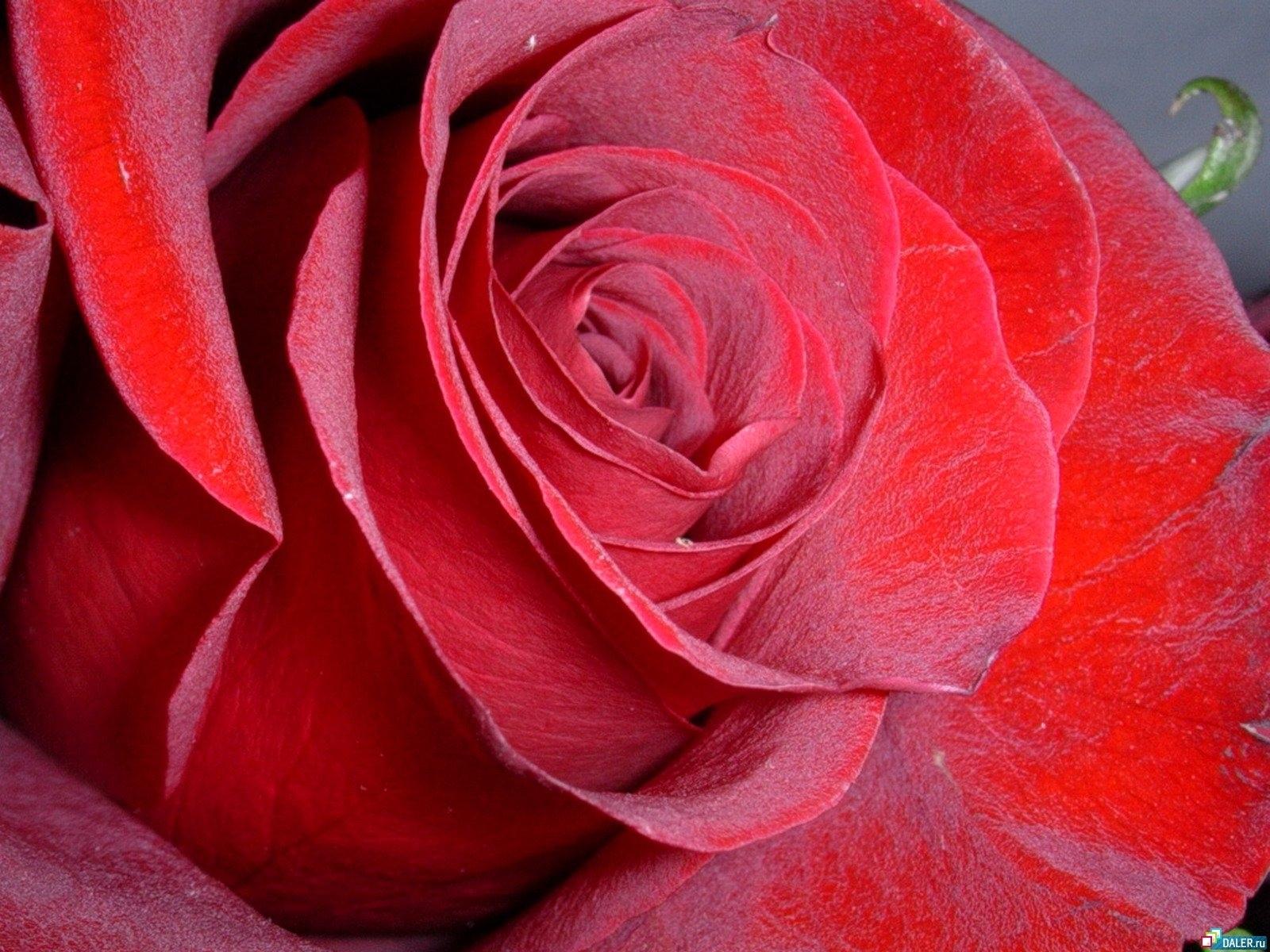3625 скачать обои Растения, Цветы, Розы - заставки и картинки бесплатно