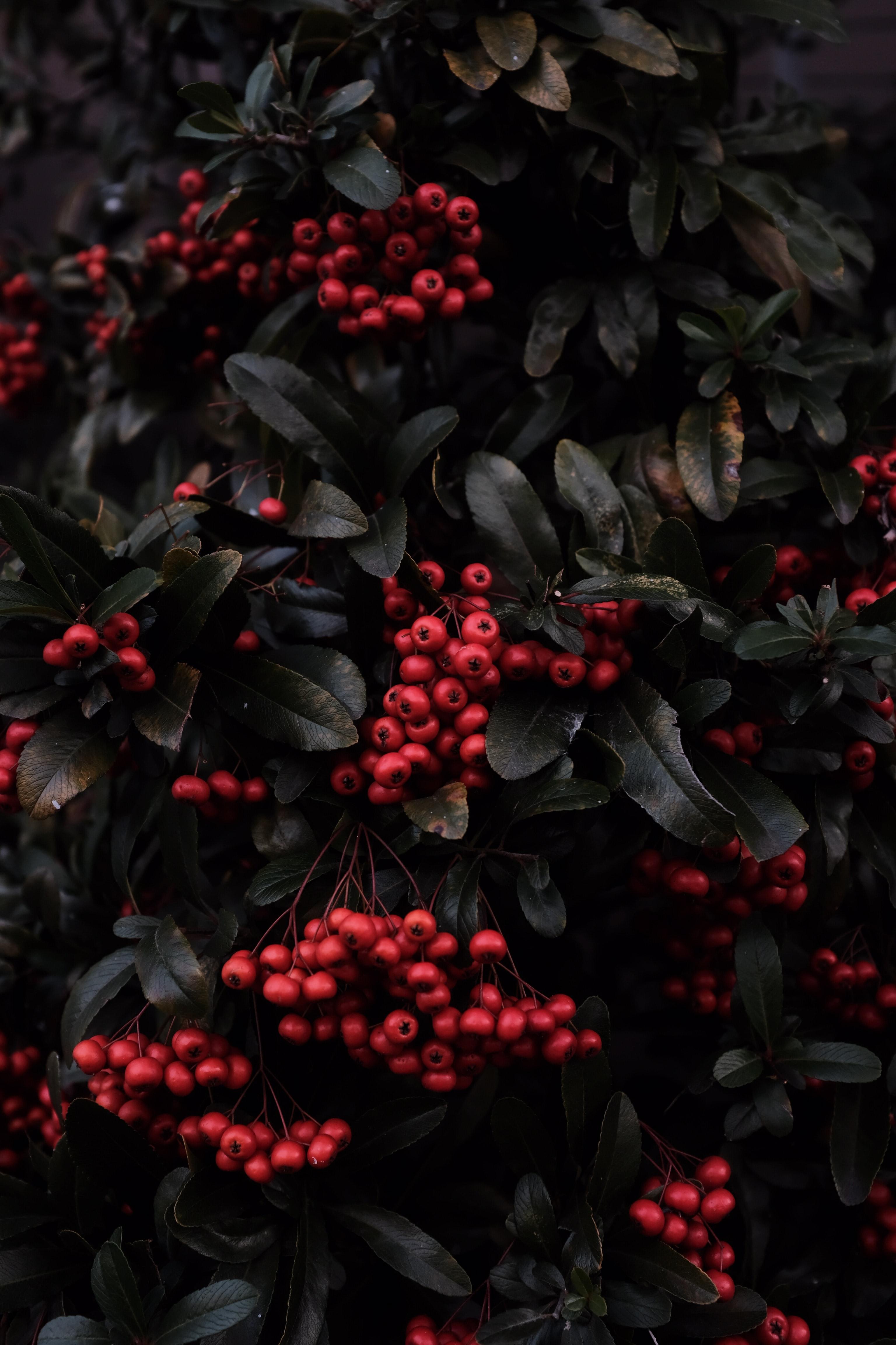 99399 скачать обои Растение, Природа, Ягоды, Макро, Красный, Рябина - заставки и картинки бесплатно