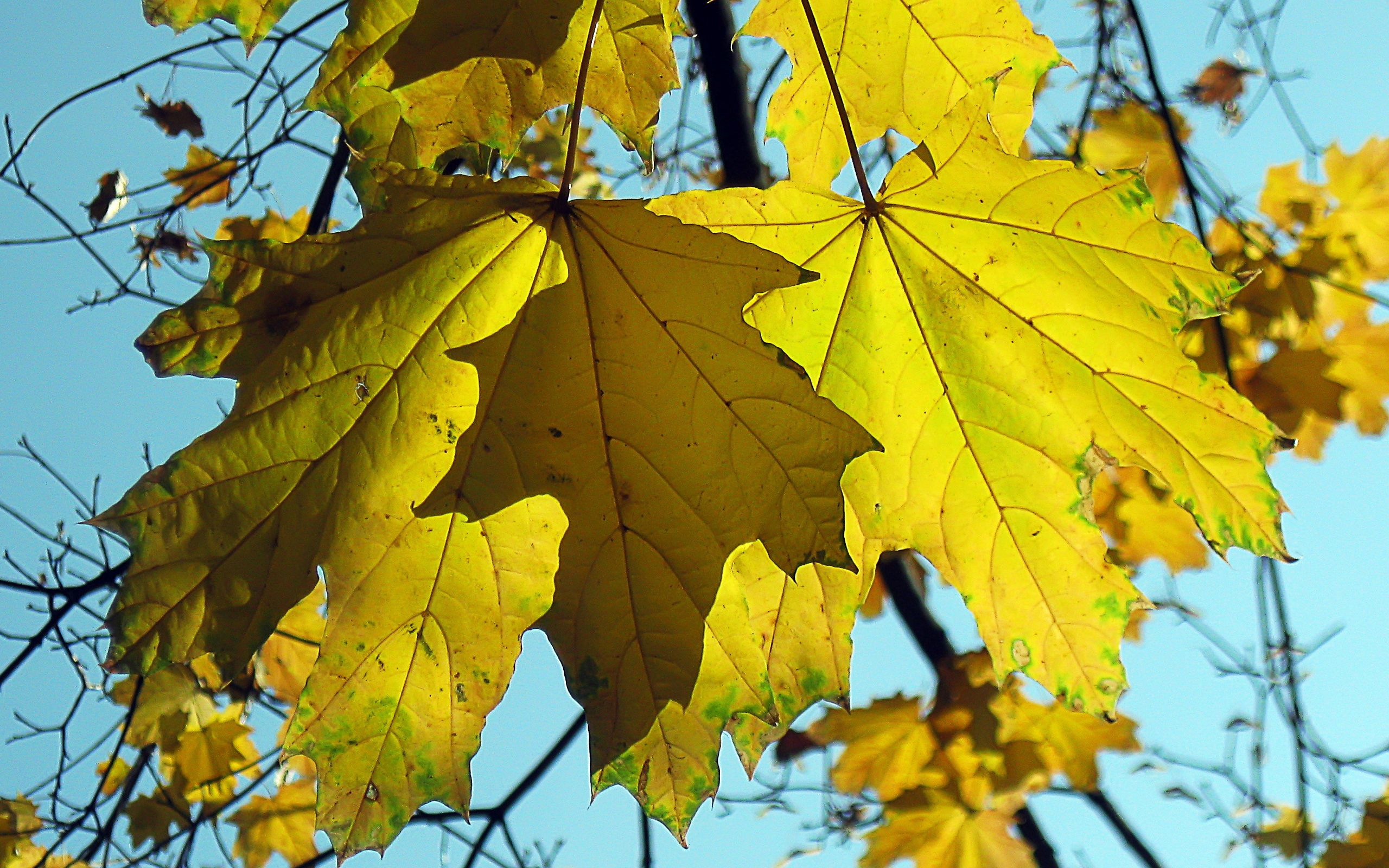 137100 download wallpaper Nature, Maple, Sheet, Leaf, Fallen screensavers and pictures for free
