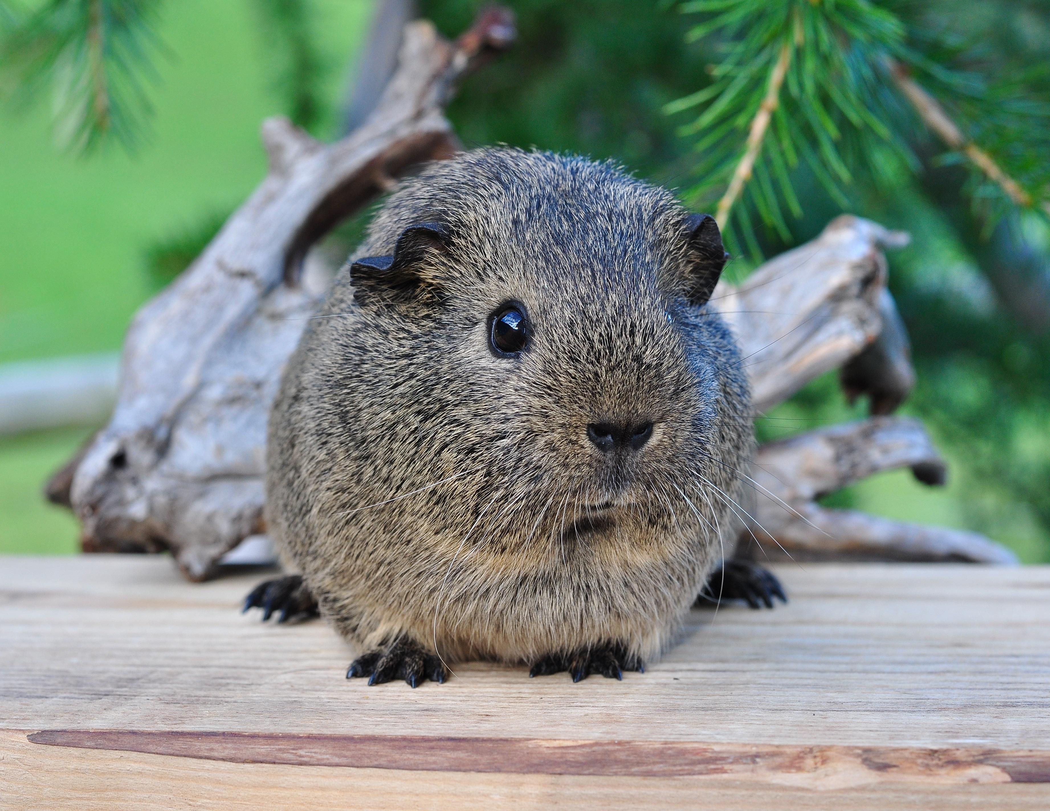 52090 Screensavers and Wallpapers Beautiful for phone. Download Animals, Beautiful, Animal, Guinea Pig, Rodent pictures for free