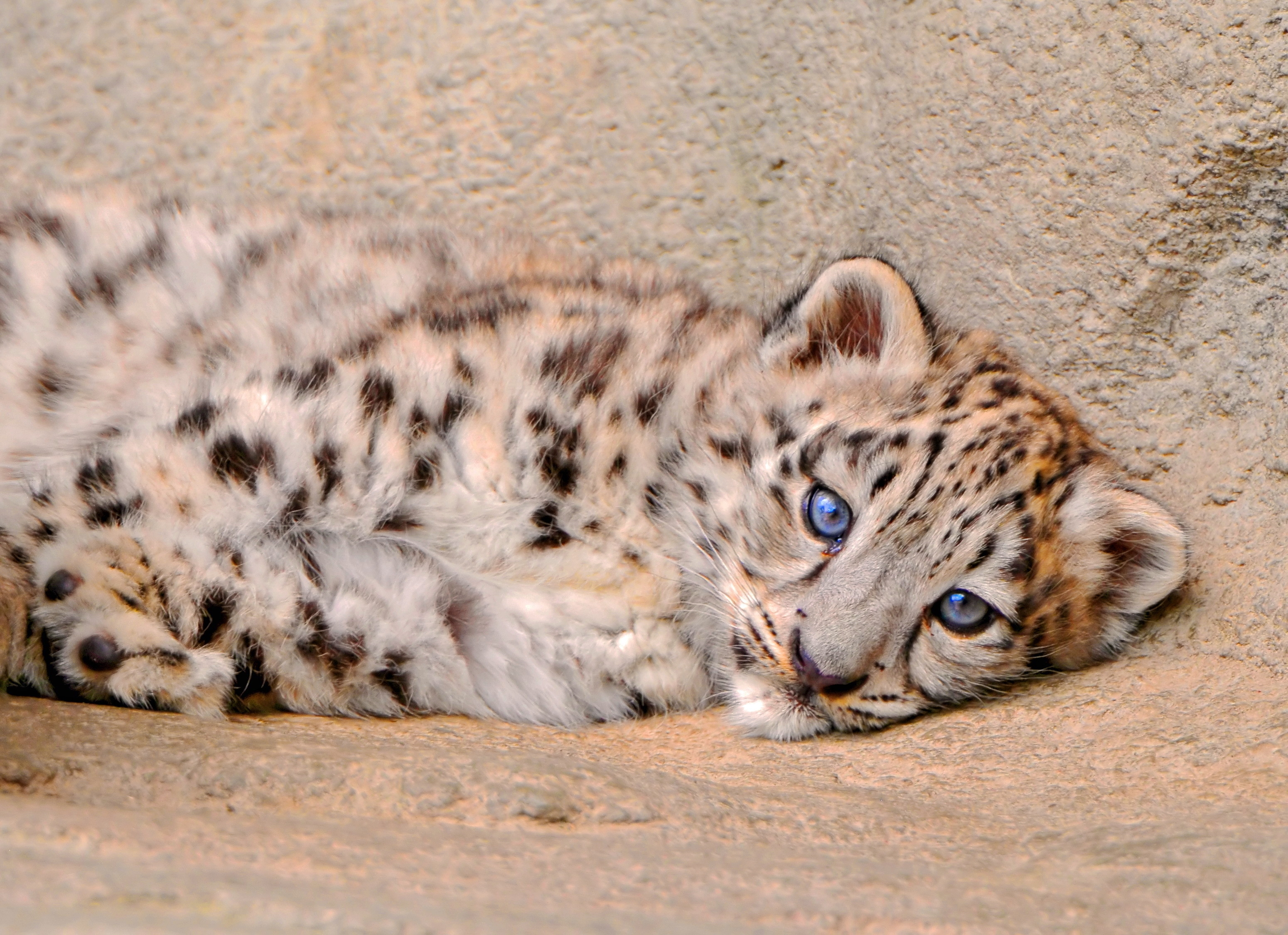 70905 download wallpaper Animals, Young, Joey, To Lie Down, Lie, Sight, Opinion, Sadness, Sorrow, Snow Leopard screensavers and pictures for free