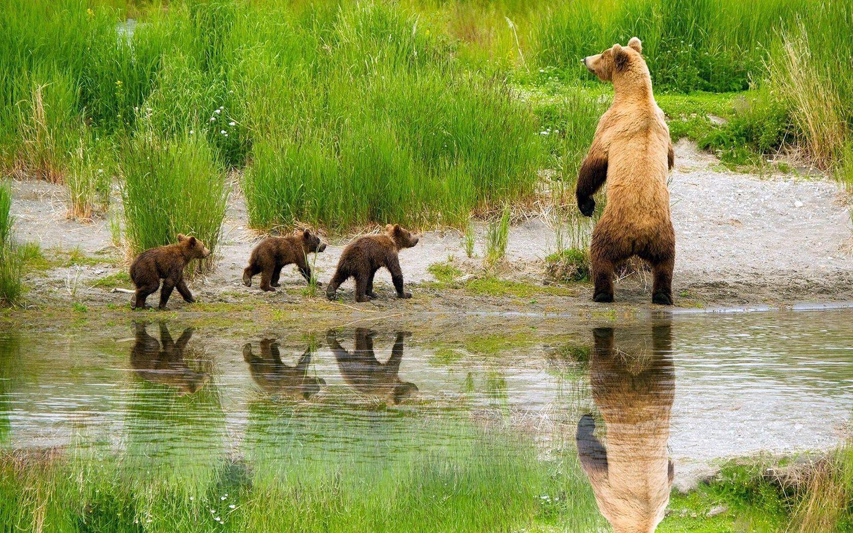 59307 Заставки и Обои Медведи на телефон. Скачать Животные, Трава, Медведи, Озеро, Семья, Забота, Охота, Детеныши картинки бесплатно