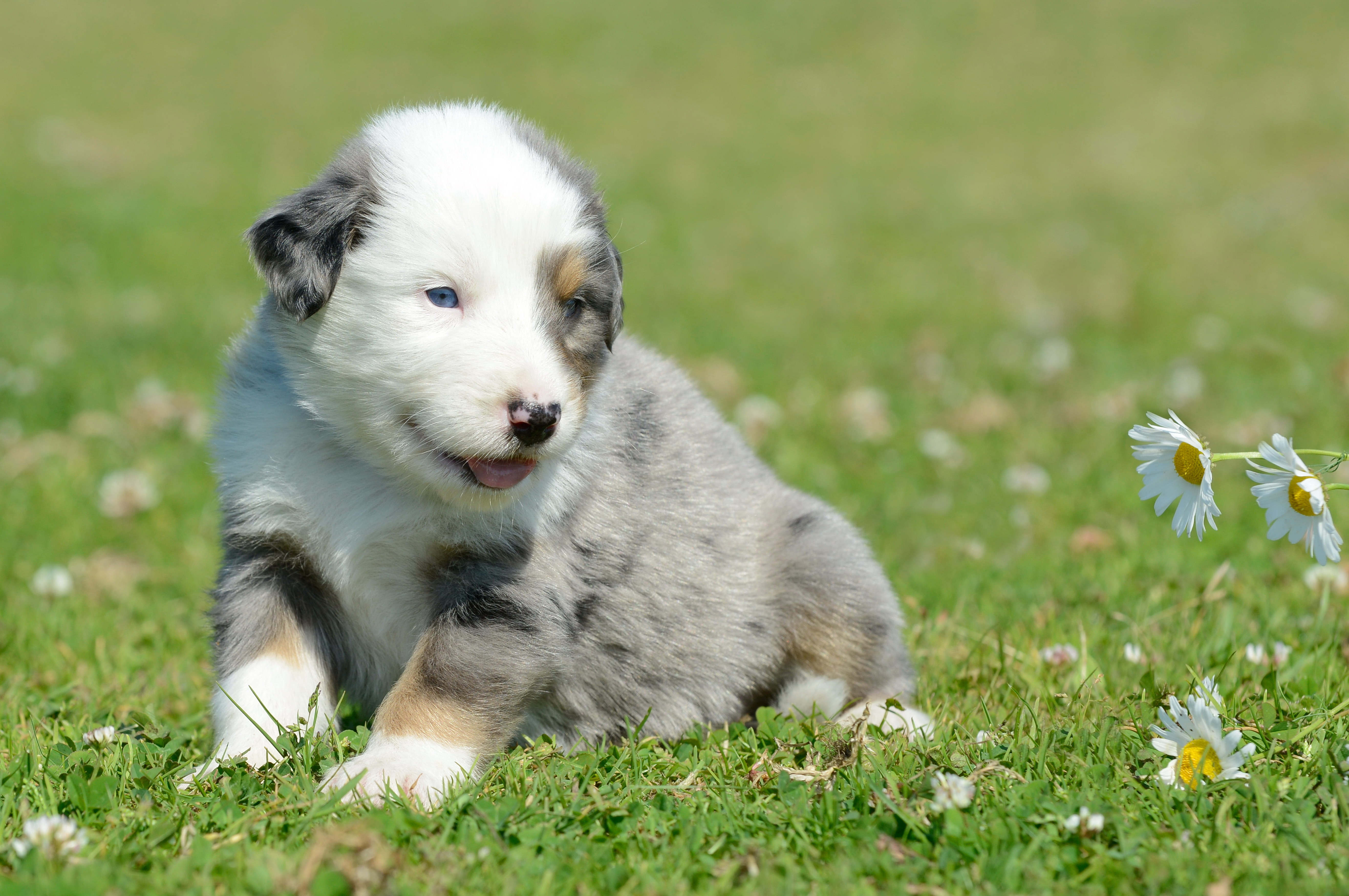 77671 download wallpaper Animals, Puppy, Grass, Camomile screensavers and pictures for free