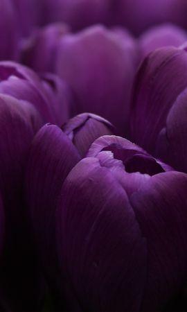 19685 скачать обои Растения, Цветы, Тюльпаны - заставки и картинки бесплатно