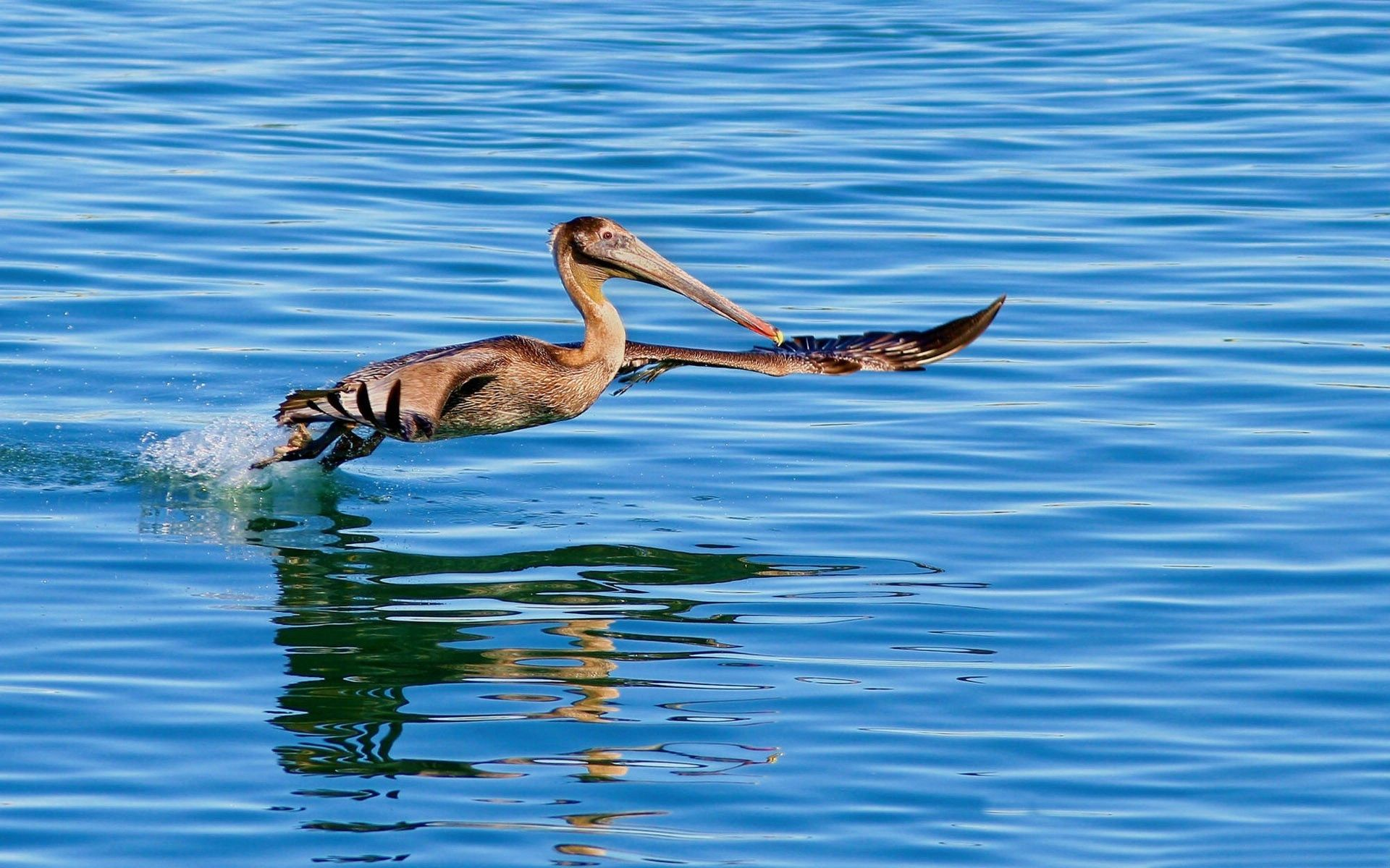 70214 download wallpaper Animals, Pelican, Bird, Sea, Water, To Swim, Swim, Flight screensavers and pictures for free
