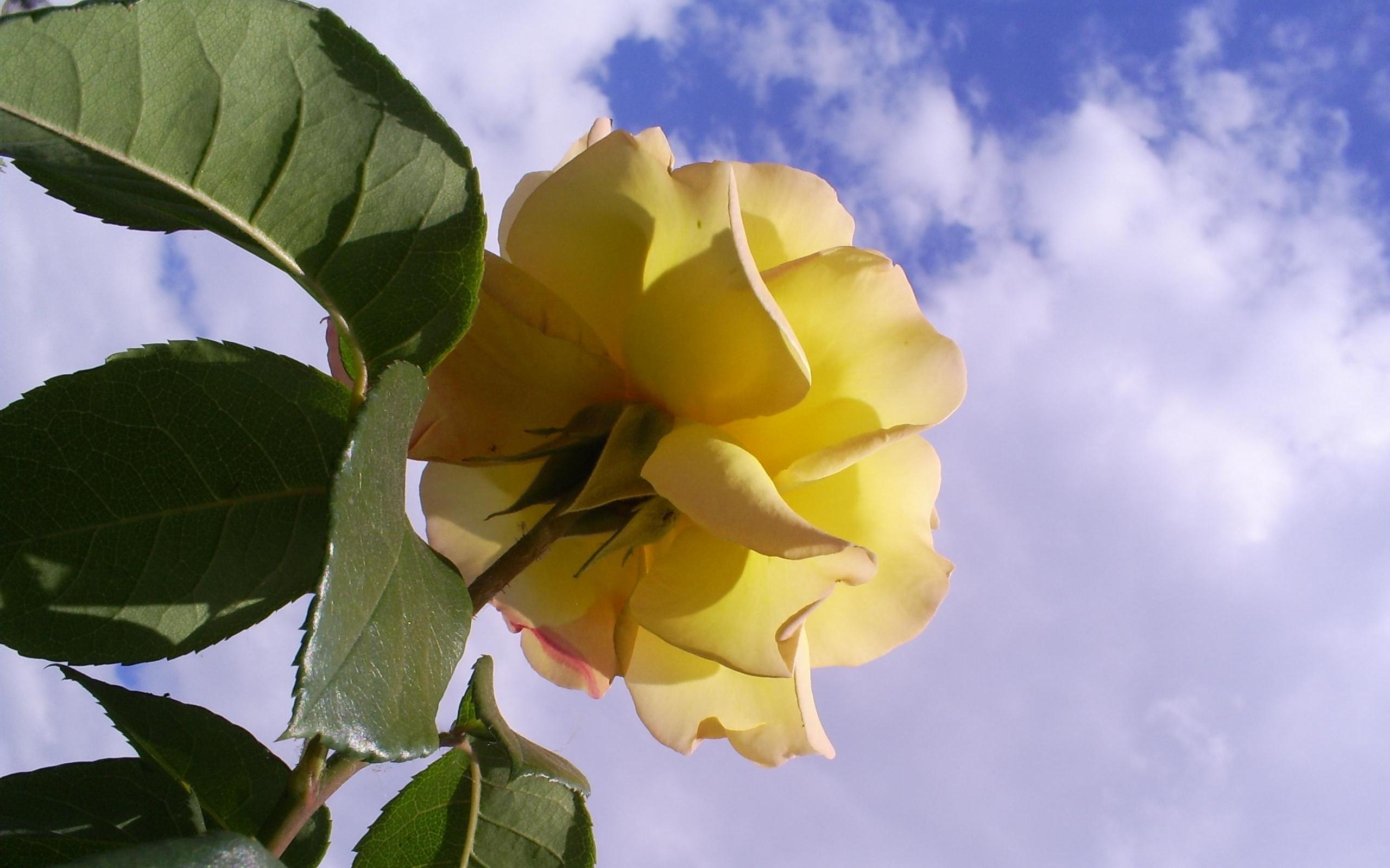 1674 скачать обои Растения, Цветы, Розы - заставки и картинки бесплатно