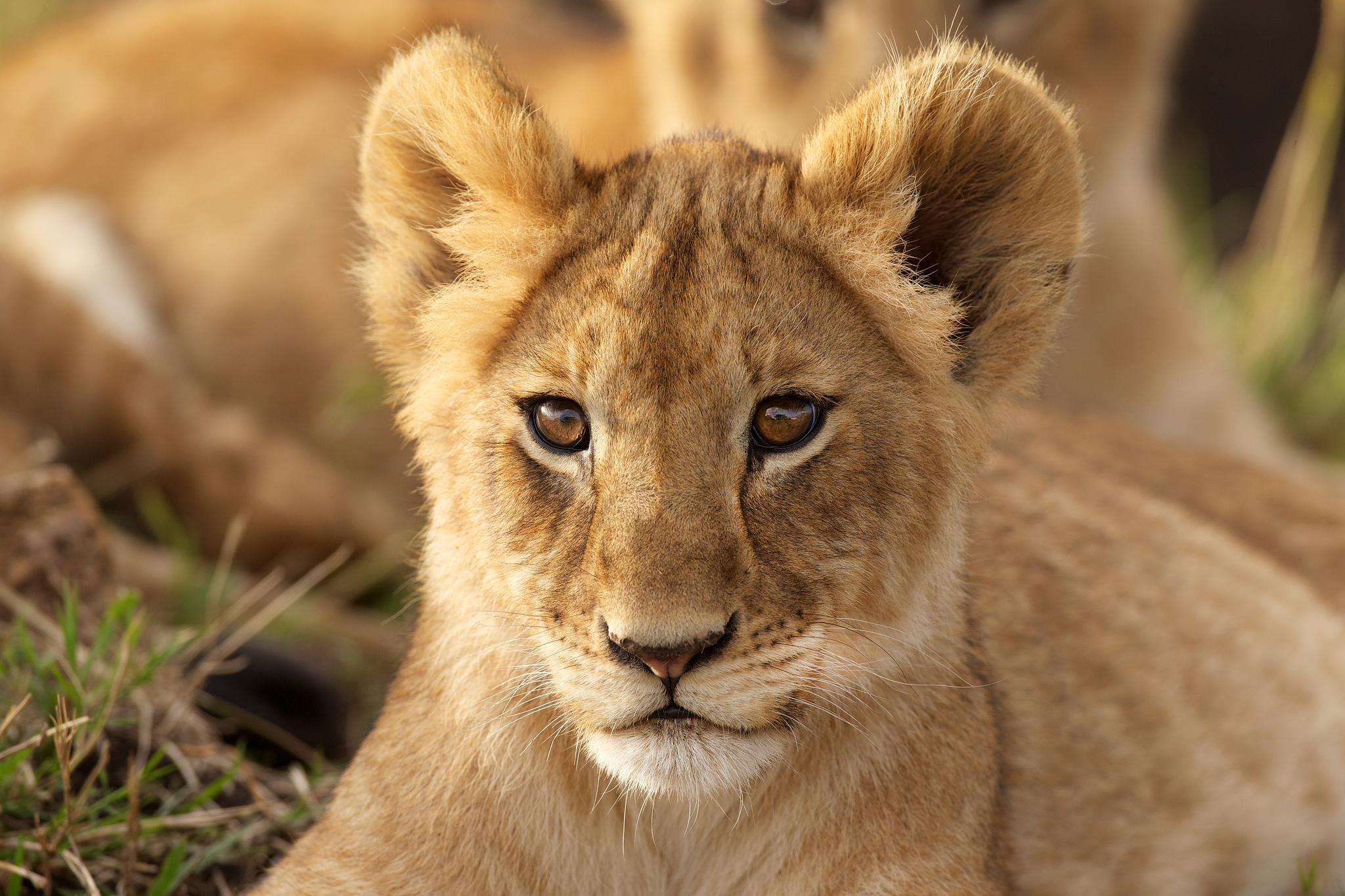 127244 download wallpaper Animals, Lion, Young, Joey, Predator, Muzzle screensavers and pictures for free