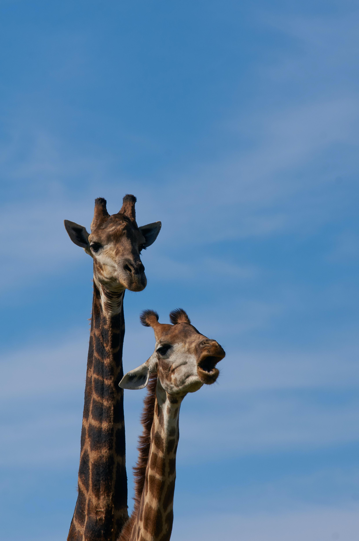 105710 免費下載壁紙 动物, 长颈鹿, 污渍, 脖子, 颈部 屏保和圖片
