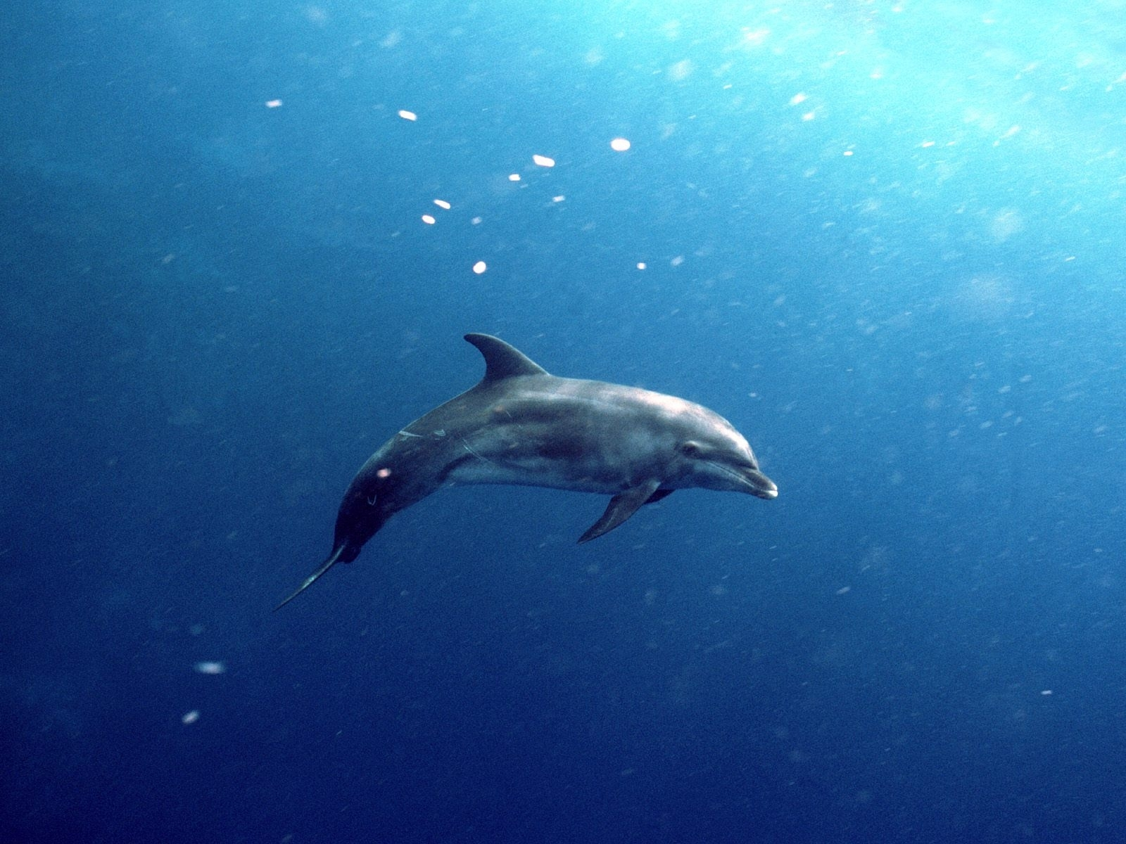 8382 download wallpaper Animals, Dolfins, Sea, Fishes screensavers and pictures for free