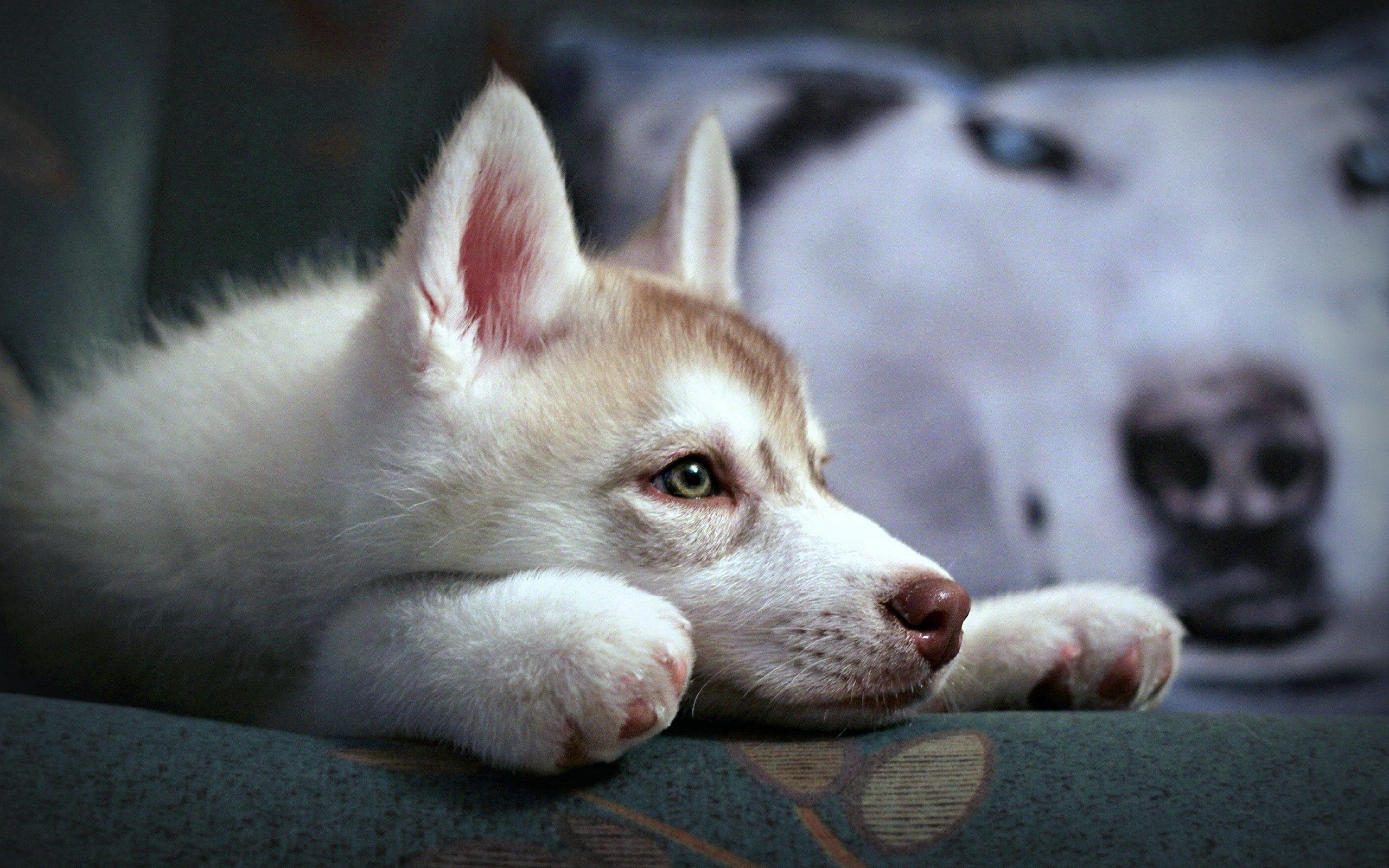 157365 download wallpaper Animals, Puppy, Husky, Haska, Sadness, Sorrow, Expectation, Waiting, Fidelity, Muzzle screensavers and pictures for free