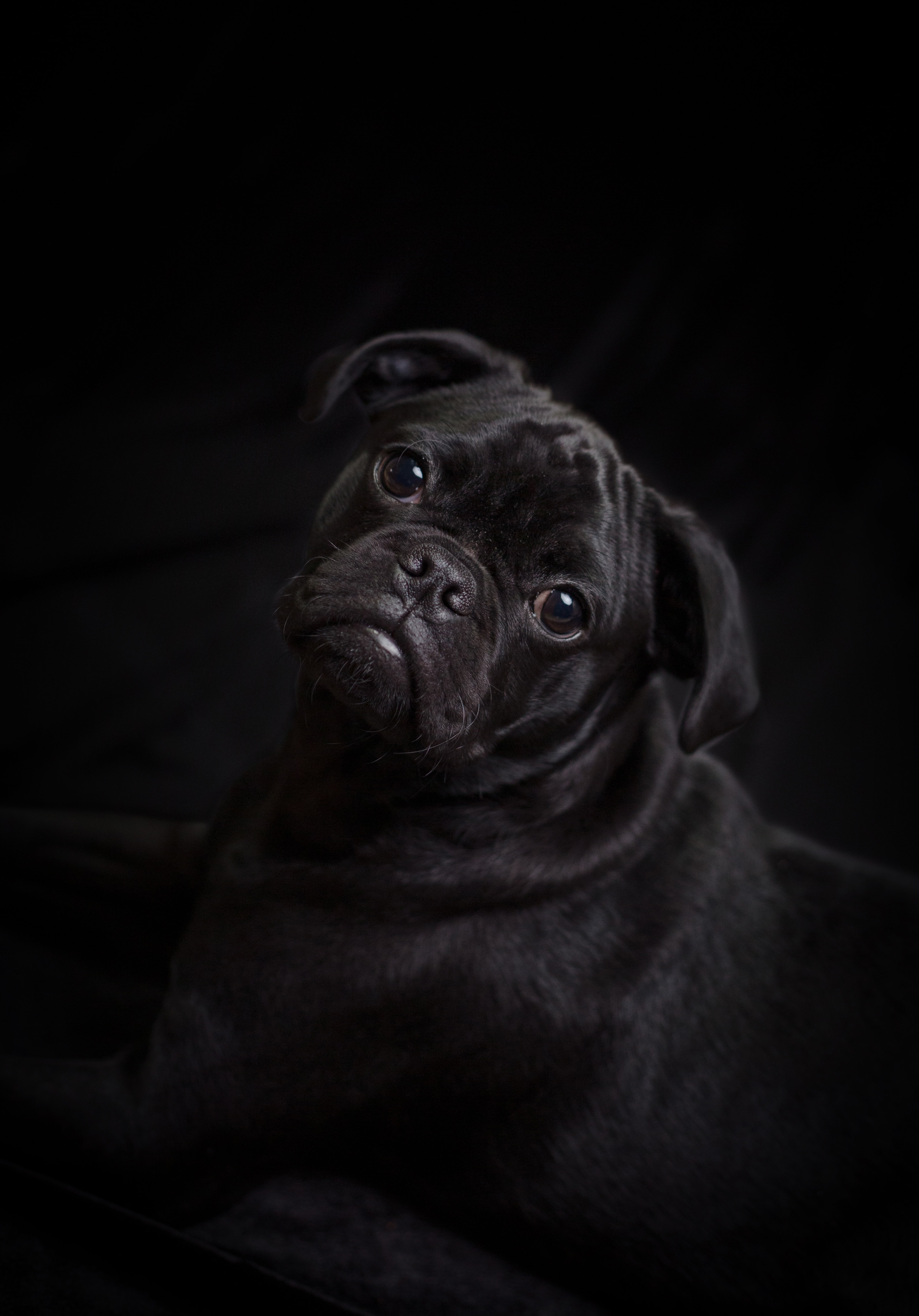 97699 download wallpaper Animals, Pug, Dog, Nice, Sweetheart, Pet screensavers and pictures for free