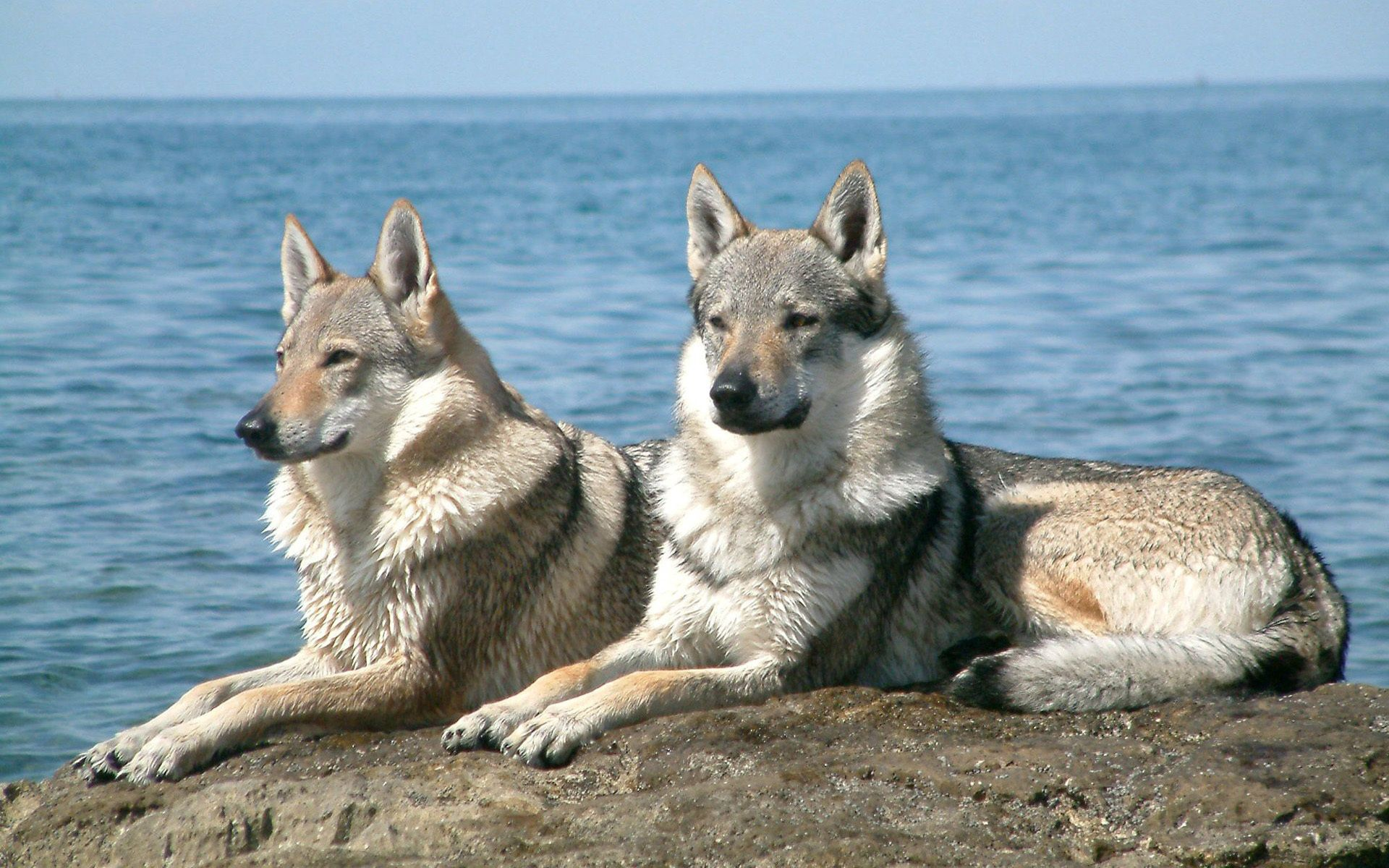 135561 download wallpaper Animals, Dogs, Couple, Pair, Sea, Stones, To Lie Down, Lie screensavers and pictures for free