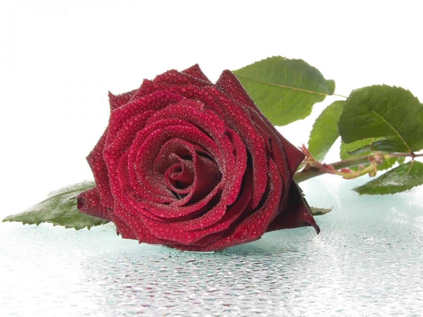 47019 скачать обои Растения, Цветы, Розы - заставки и картинки бесплатно