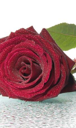 47019 baixar papel de parede Plantas, Flores, Rosas - protetores de tela e imagens gratuitamente