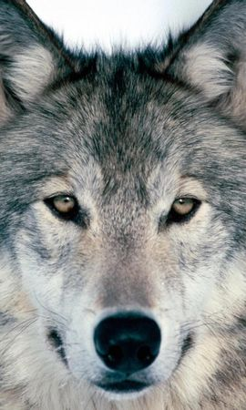 27277 download wallpaper Animals, Wolfs screensavers and pictures for free
