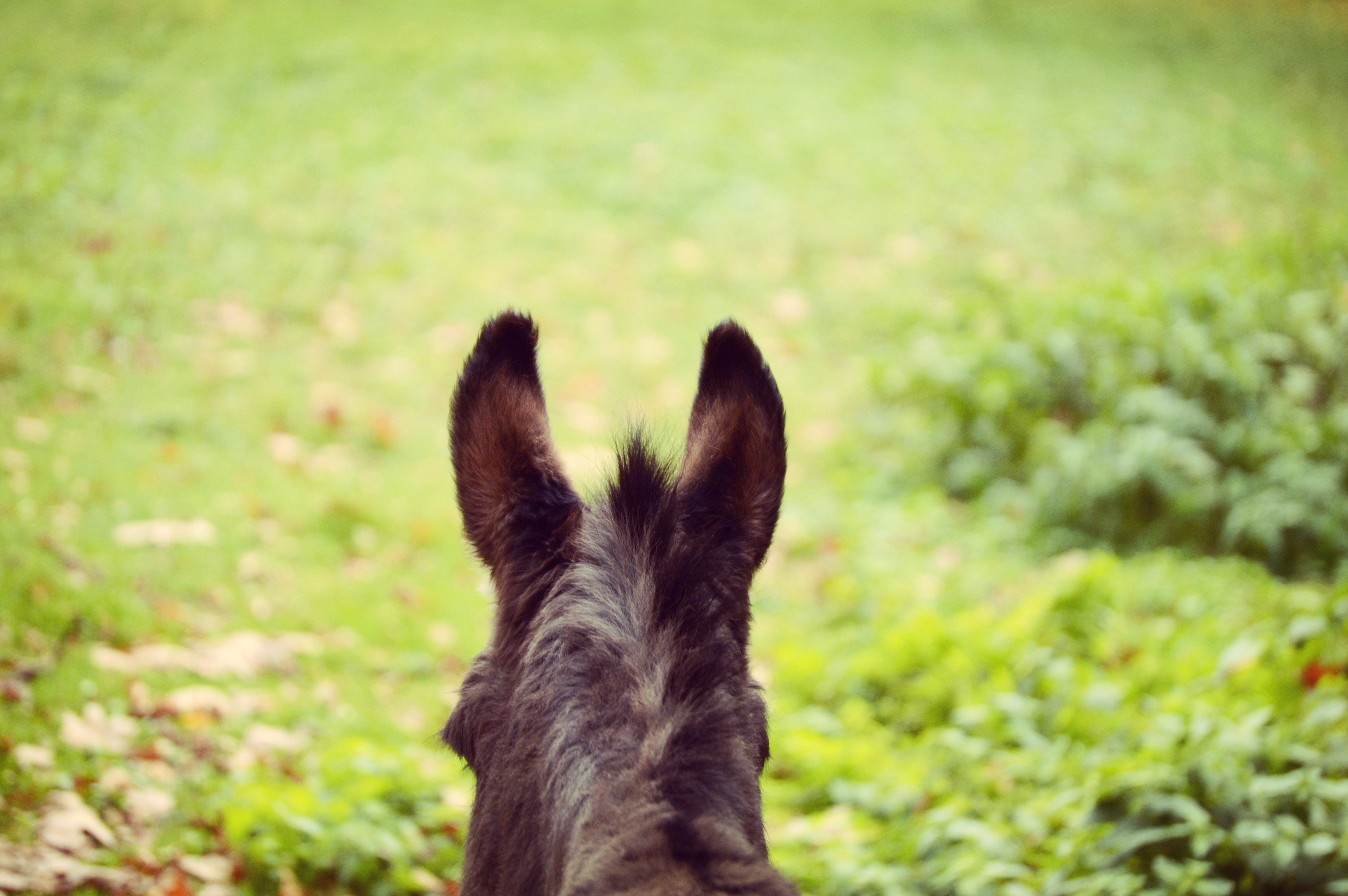 59913 Screensavers and Wallpapers Wool for phone. Download Animals, Blur, Smooth, Ears, Wool, Donkey pictures for free