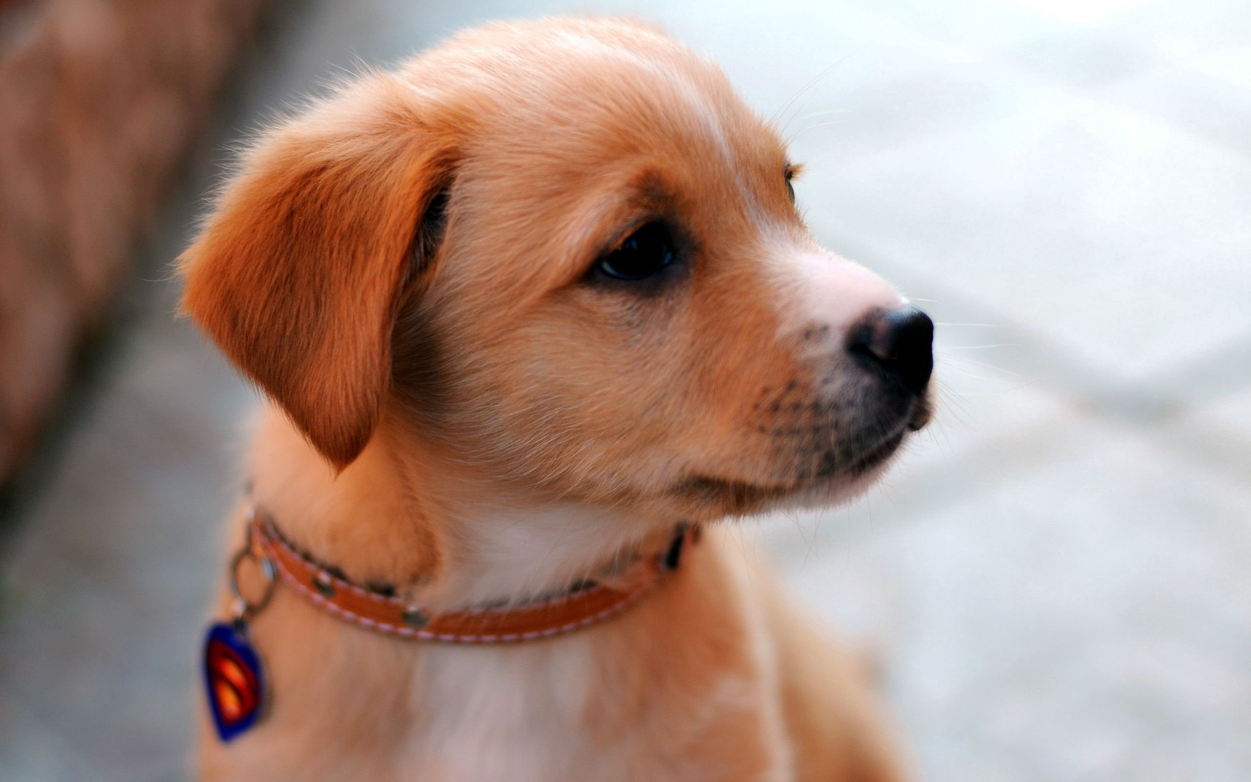 146684 download wallpaper Animals, Puppy, Muzzle, Collar, Nice, Sweetheart, Look Around, Look Back screensavers and pictures for free