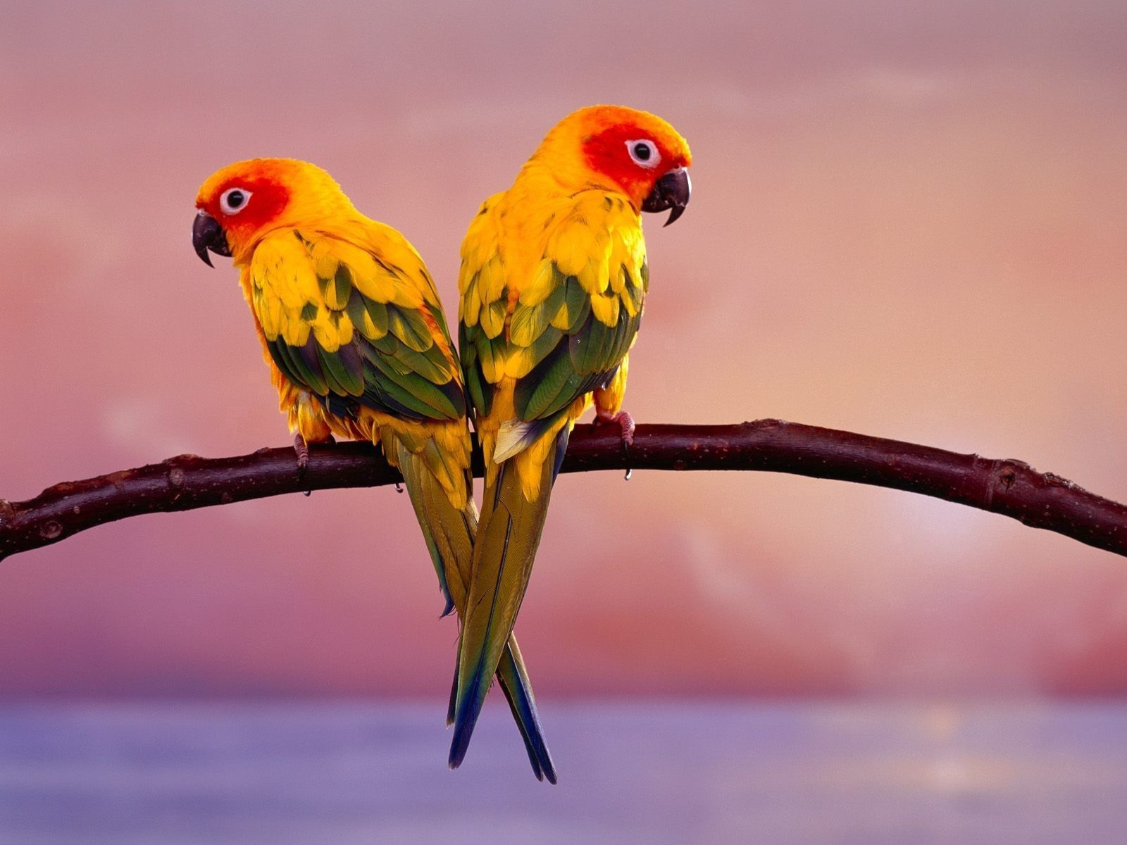 96747 Screensavers and Wallpapers Parrots for phone. Download Parrots, Animals, Sit, Branch, Color, Tail pictures for free