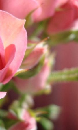 41524 descargar fondo de pantalla Plantas, Flores, Roses: protectores de pantalla e imágenes gratis