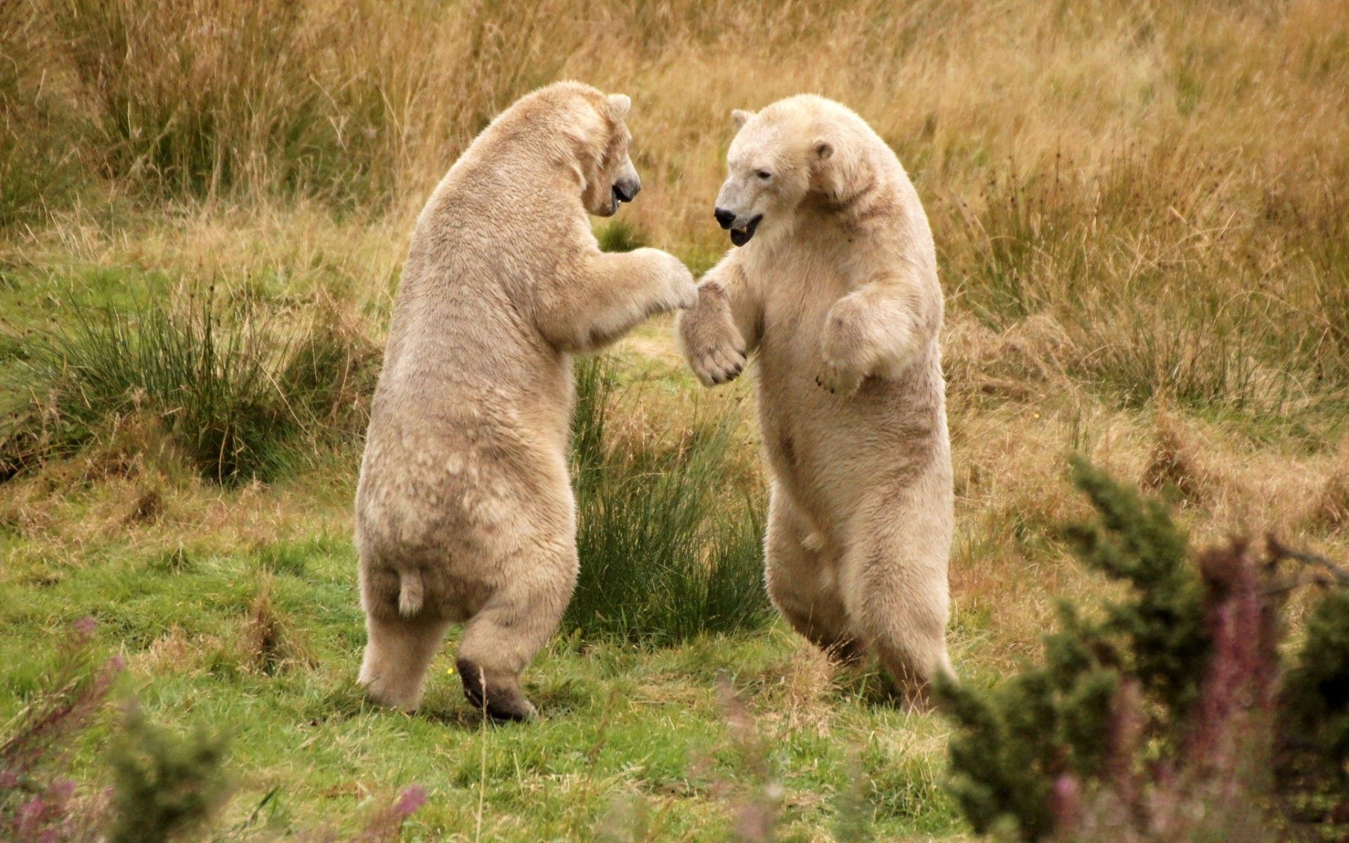 149844 download wallpaper Animals, Bears, Grass, Stroll screensavers and pictures for free