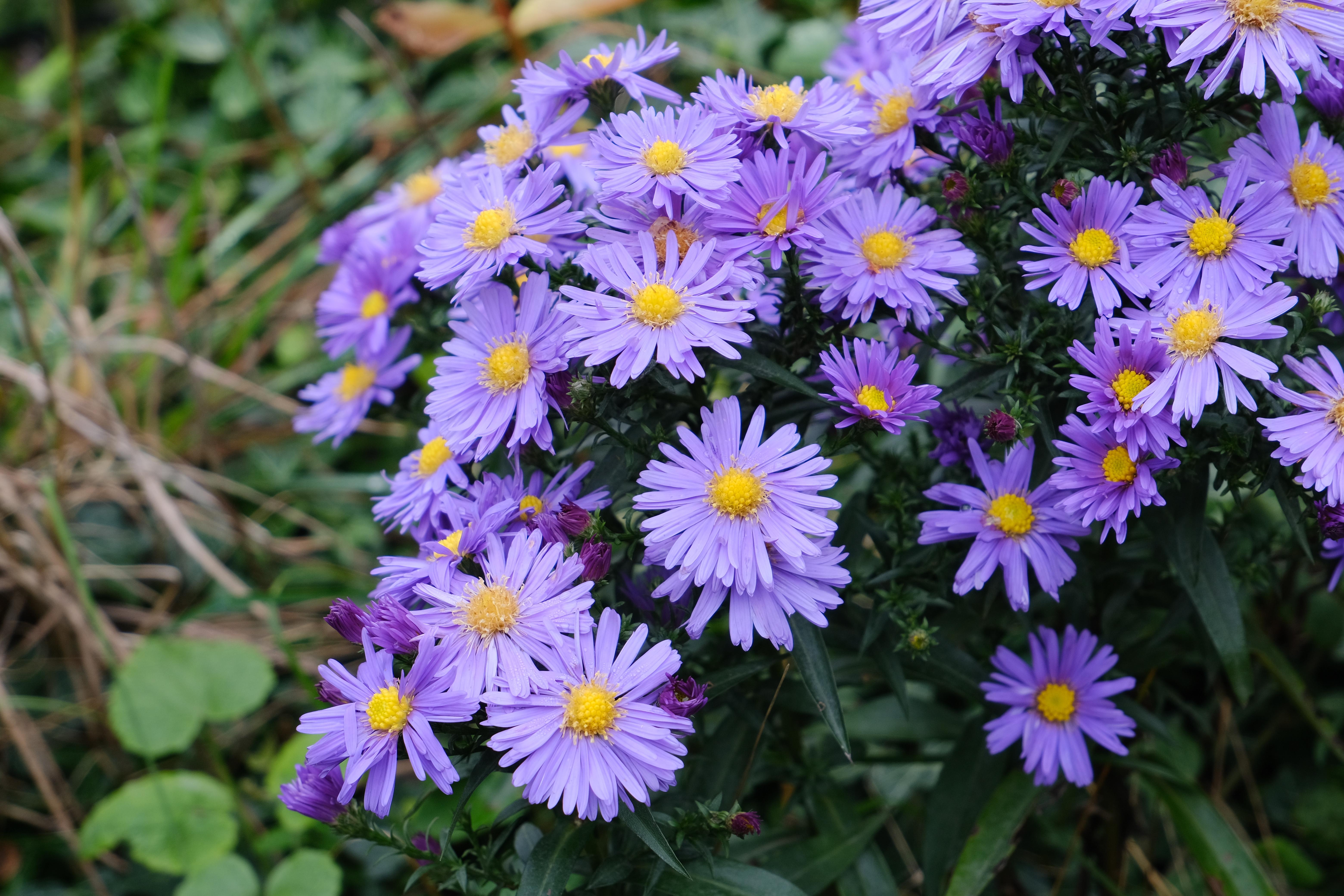 128774 скачать обои Цветы, Астра, Растение, Макро, Фиолетовый - заставки и картинки бесплатно