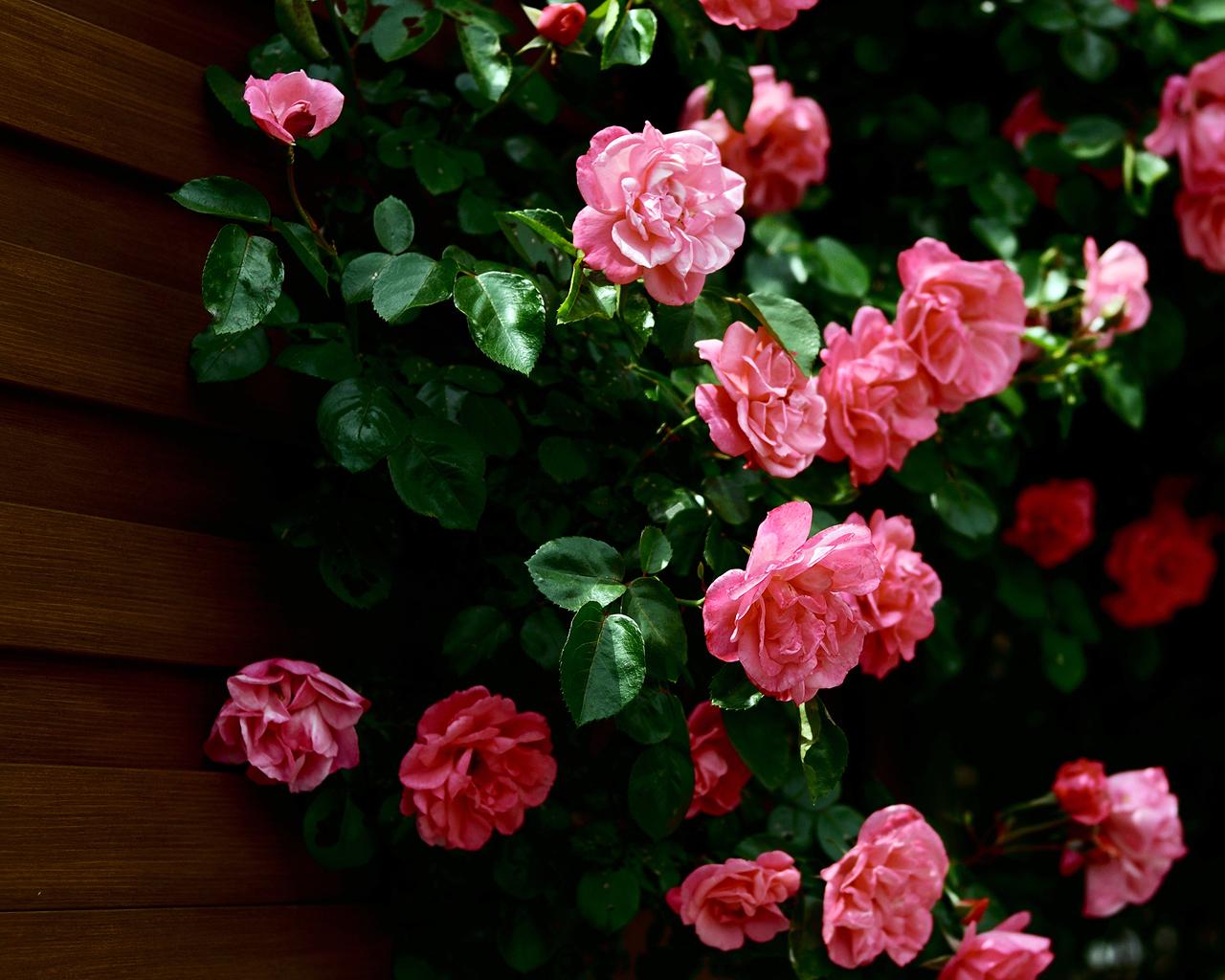 8024 скачать обои Растения, Цветы, Розы - заставки и картинки бесплатно