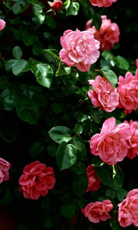 8024 download wallpaper Plants, Flowers, Roses screensavers and pictures for free
