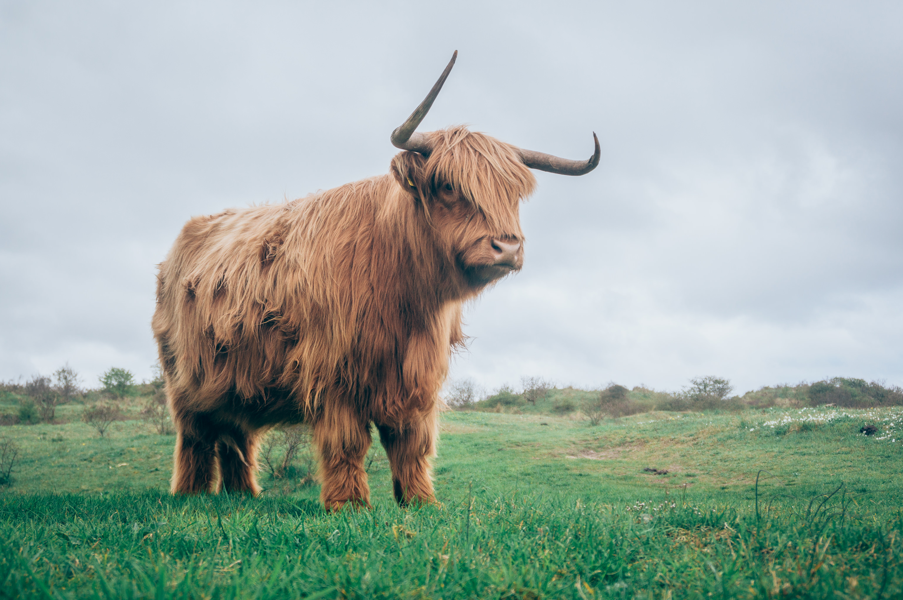 97486 download wallpaper Animals, Bull, Horns, Fur, Grass screensavers and pictures for free