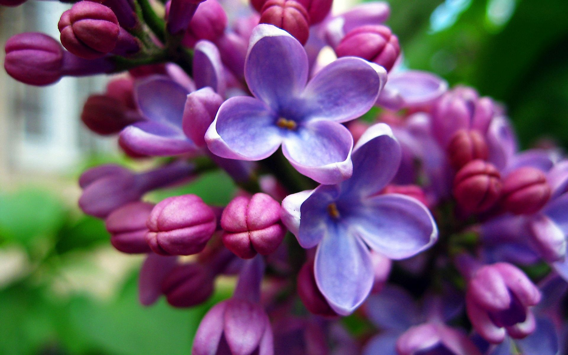 134278 download wallpaper Flowers, Lilac, Macro, Light, Bloom, Flowering, Light Coloured screensavers and pictures for free