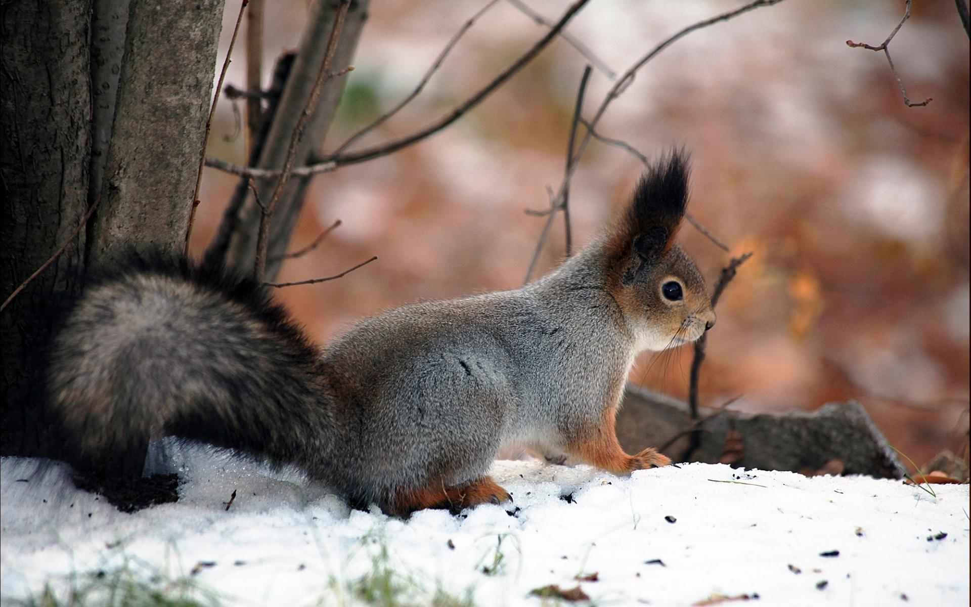 40797 download wallpaper Animals, Squirrel screensavers and pictures for free