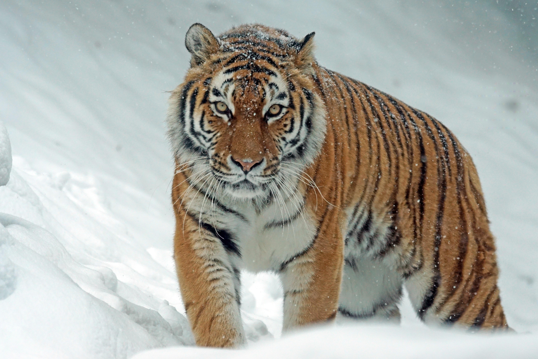 141550 скачать обои Животные, Хищник, Тигр, Большая Кошка, Снег - заставки и картинки бесплатно
