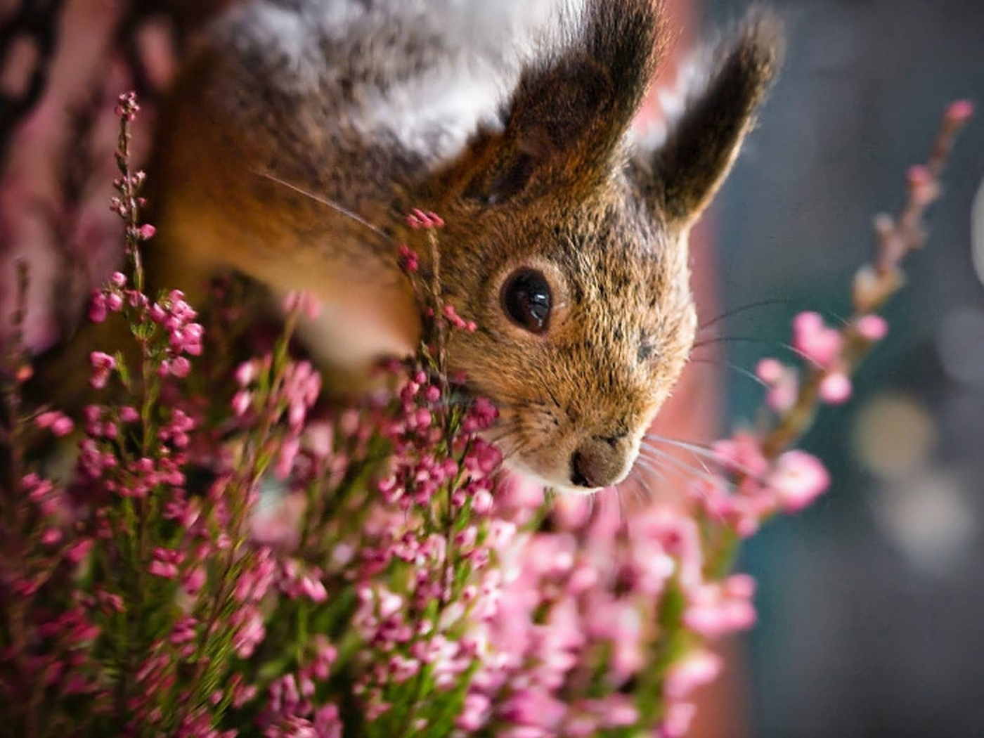 46069 download wallpaper Animals, Squirrel screensavers and pictures for free