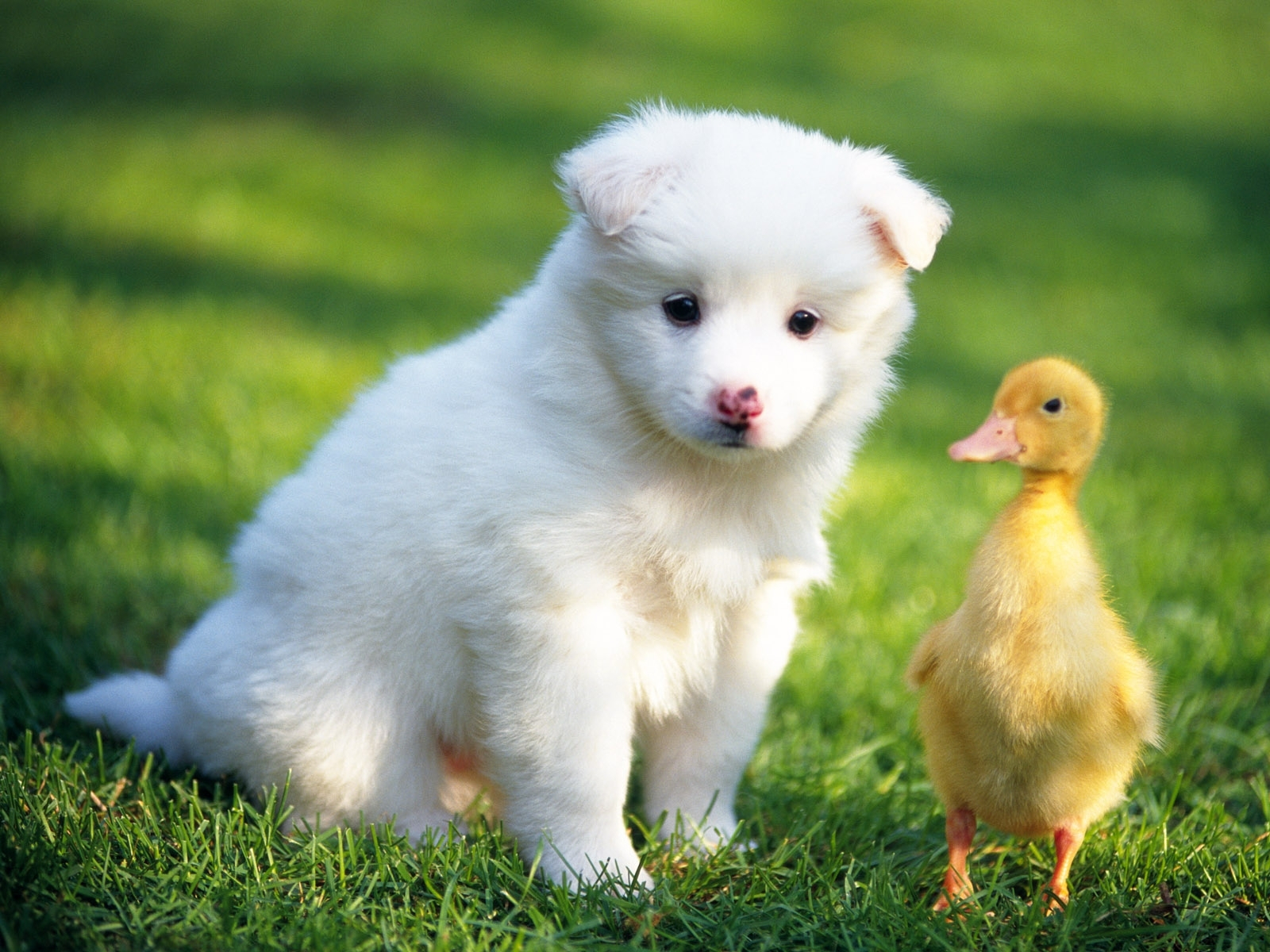 8921 download wallpaper Animals, Dogs, Birds, Ducks screensavers and pictures for free