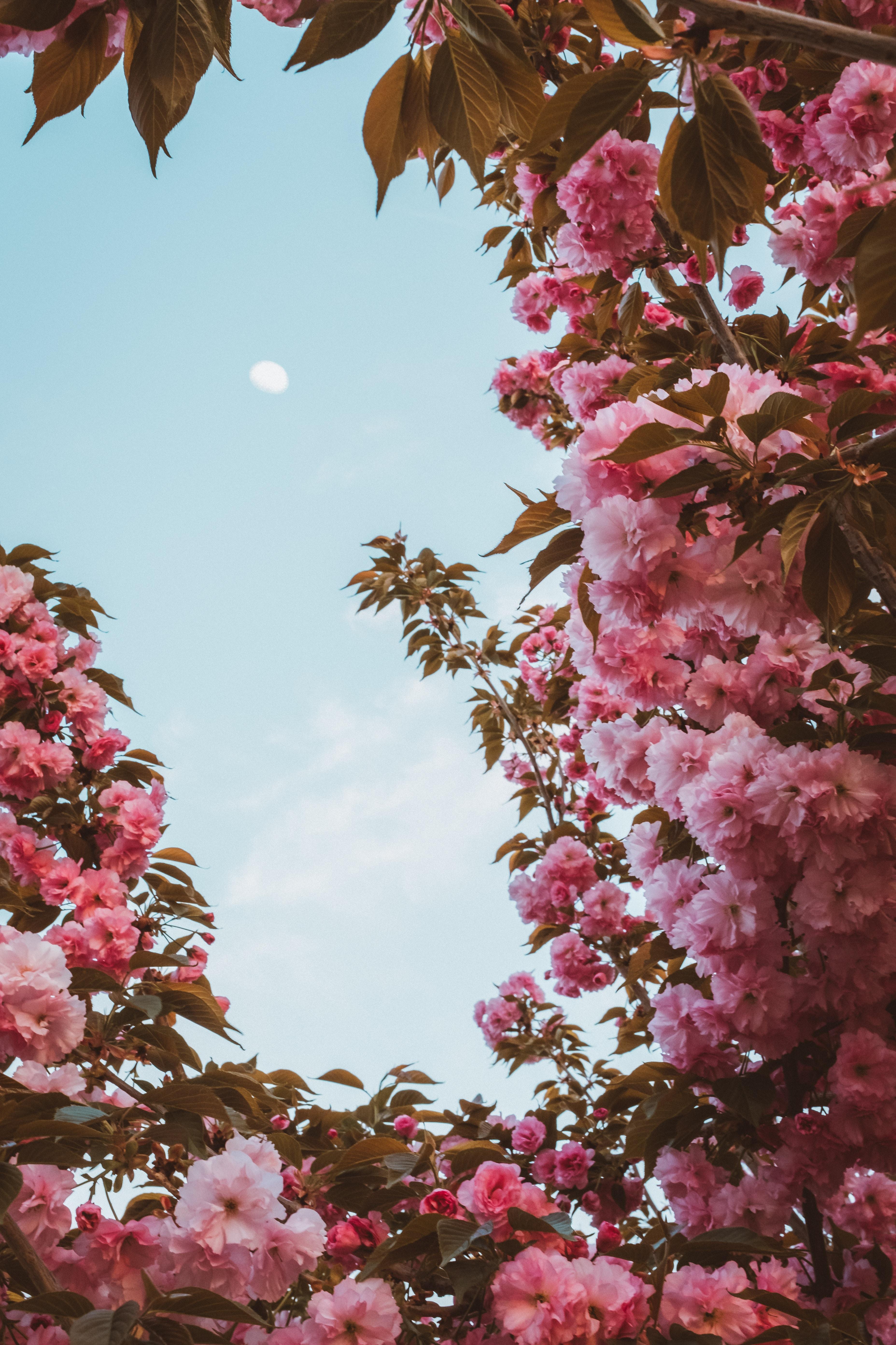104383 скачать обои Цветы, Сакура, Небо, Луна, Цветение, Розовый, Весна - заставки и картинки бесплатно