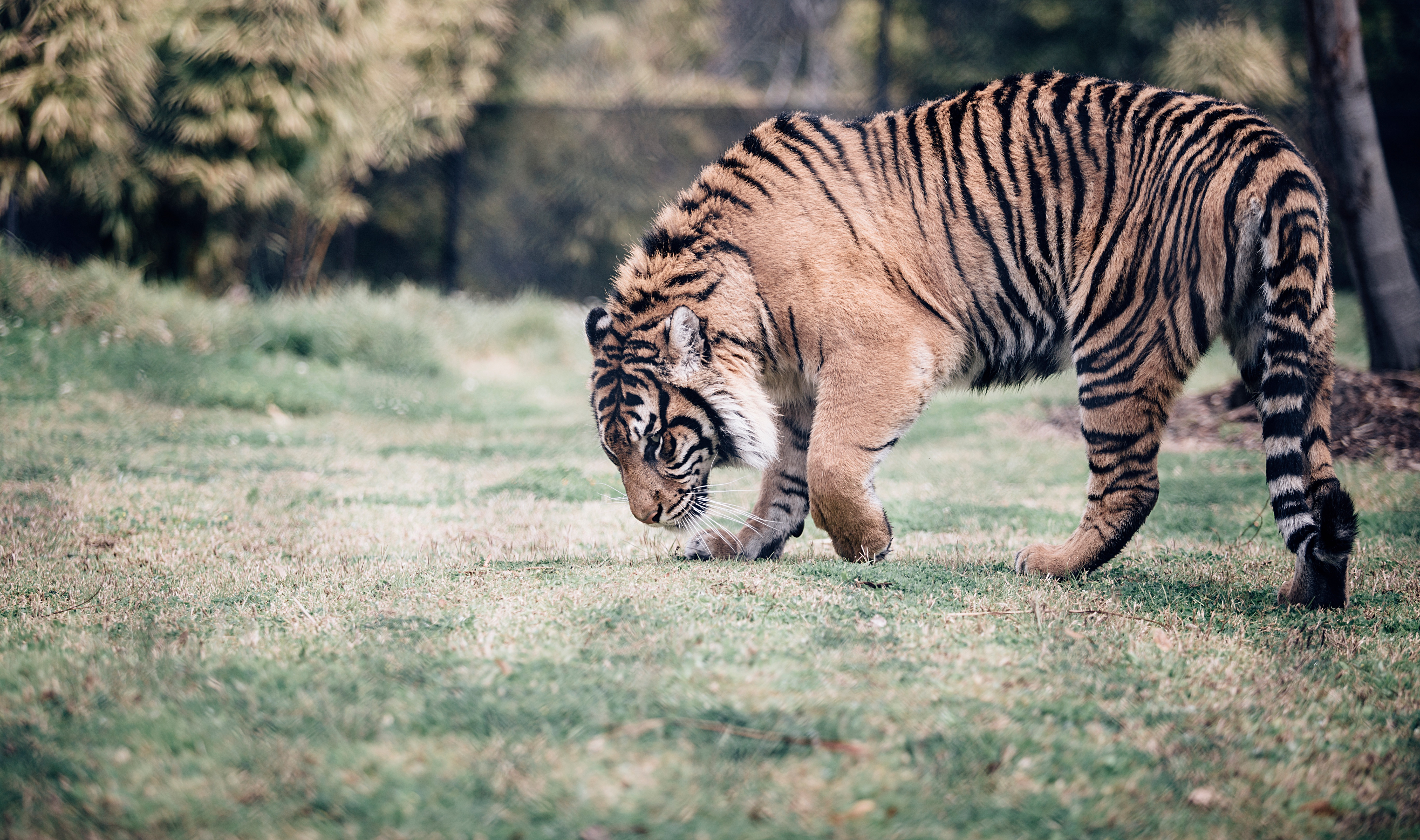 80478 download wallpaper Animals, Tiger, Big Cat, Predator, Stroll screensavers and pictures for free
