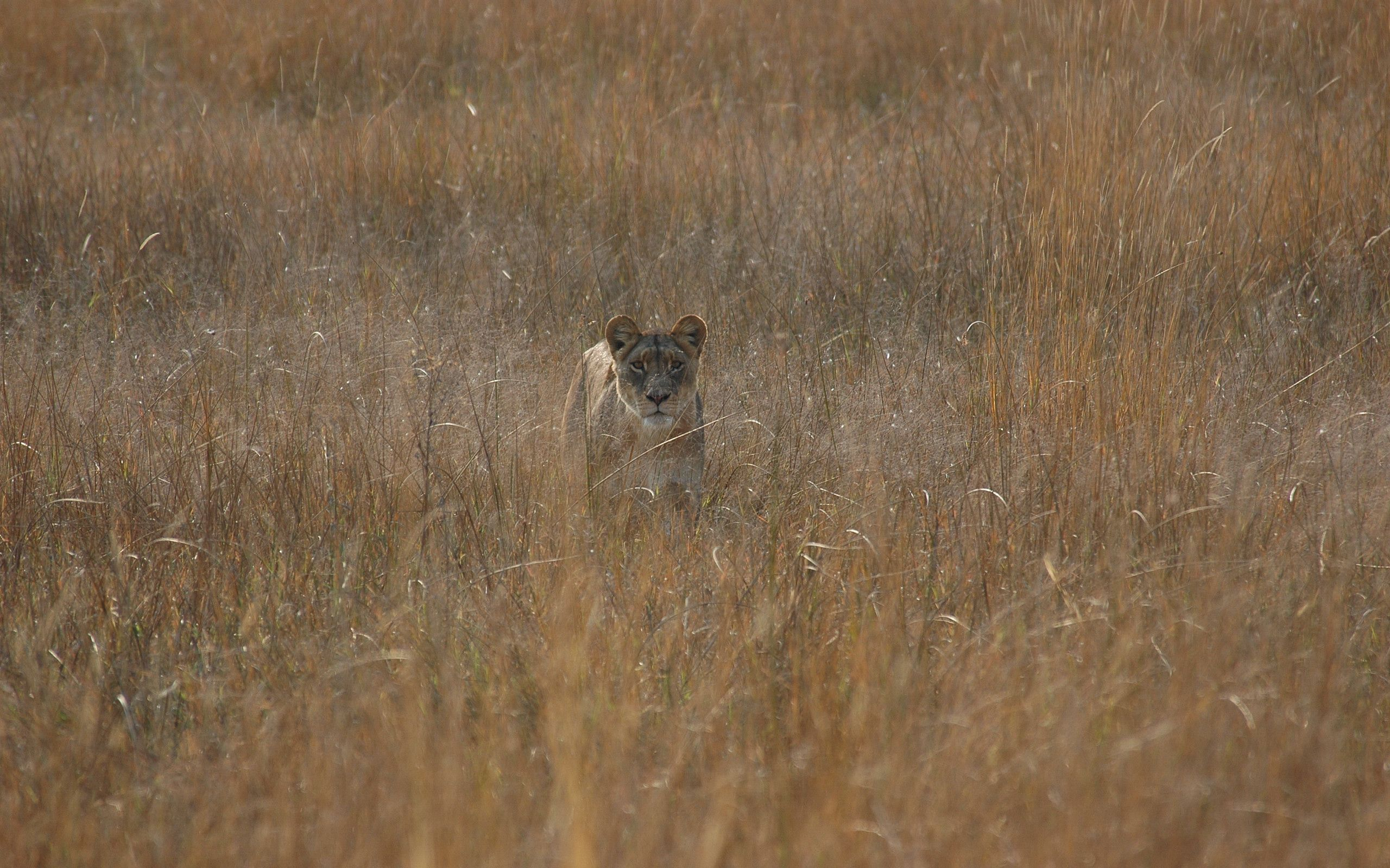 88699 download wallpaper Animals, Lioness, Field, Grass, Hunting, Hunt screensavers and pictures for free