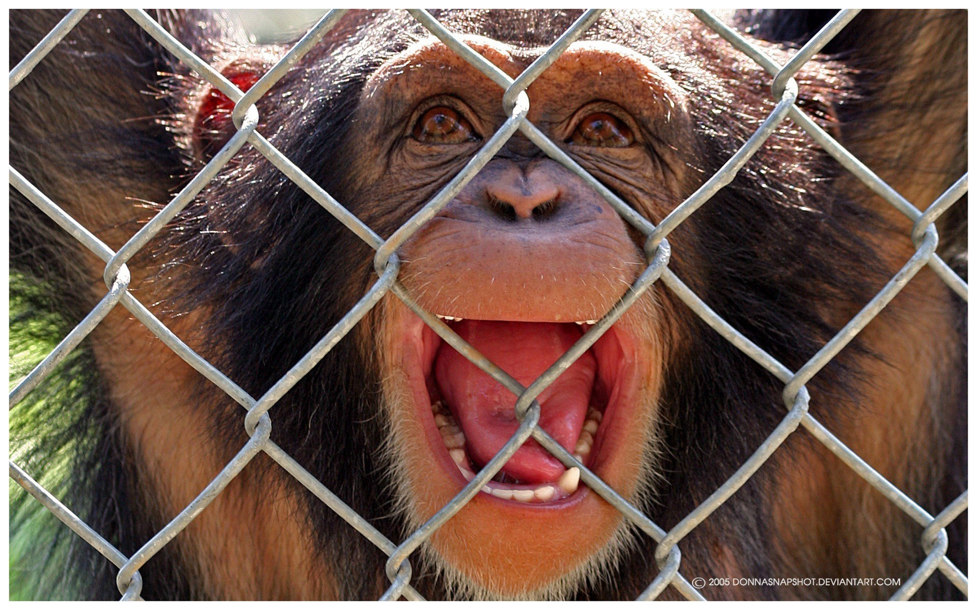 21393 download wallpaper Animals, Monkeys screensavers and pictures for free